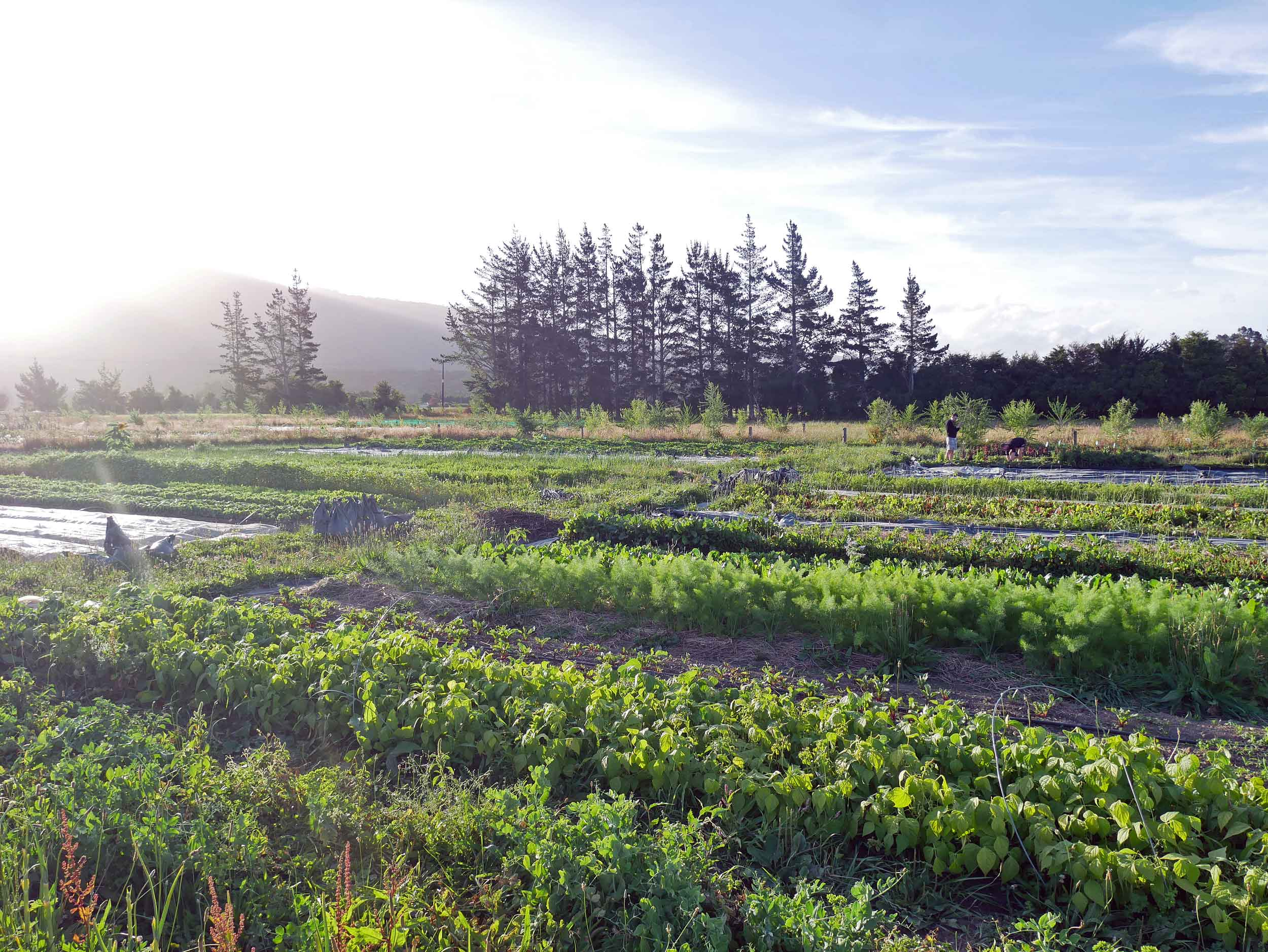Puramahoi Fields also provides many of Golden Bay's fabulous restaurants and cafes with organic produce.