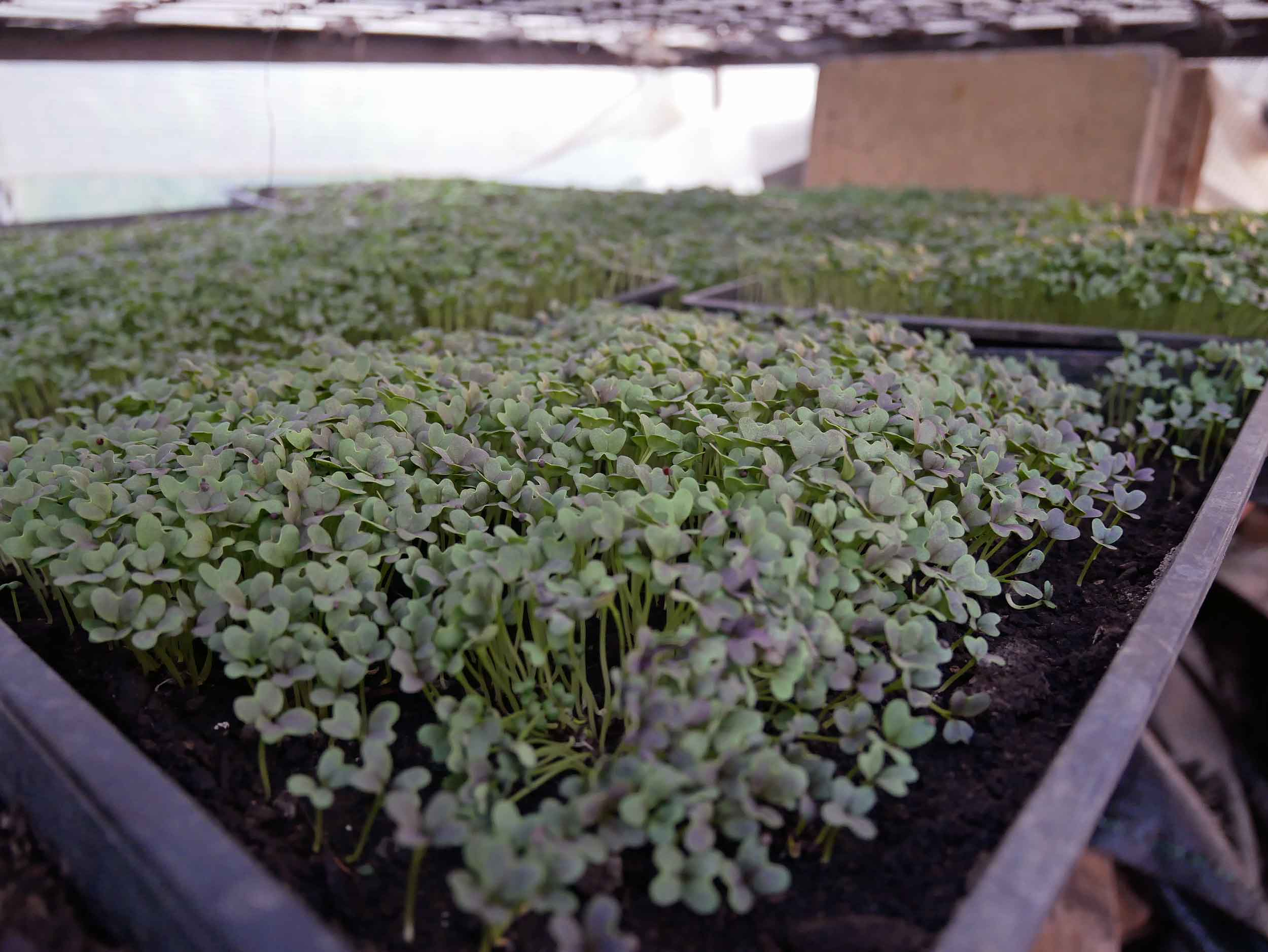 Micro greens are big business in Golden Bay, easier for cafes and restaurants to garnish plates (also, tasty!).