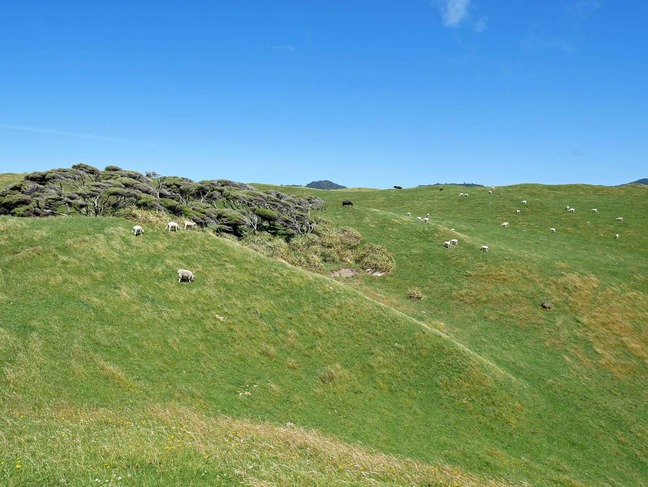 The northern most tip of the South Island, the rolling hills on top of hills are dotted with what else... more sheep (Jan 13).