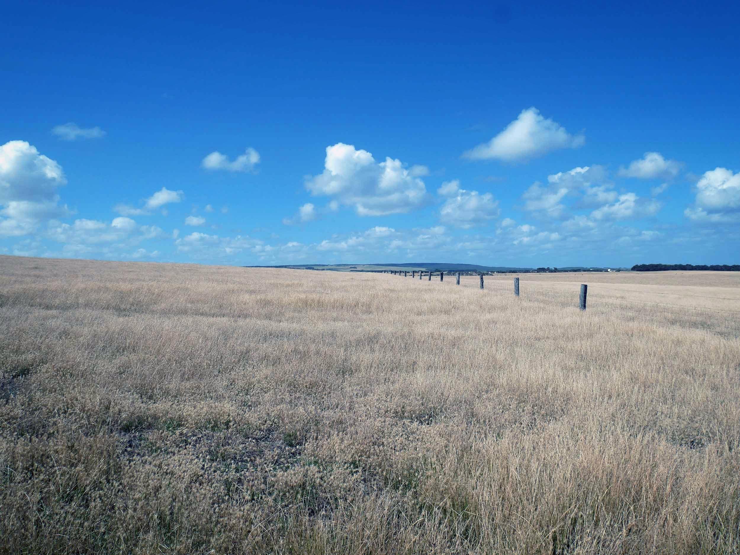 Beautiful paddocks of wheat near the famous 12 Apostles (Jan 24).