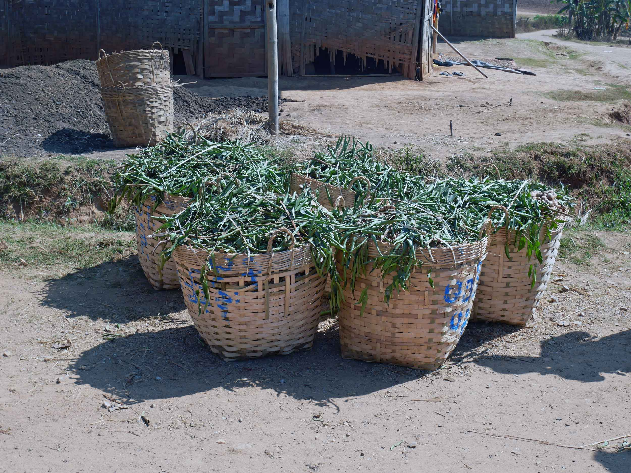 Baskets of harvested ginger, another important crop in this area, lined the trails (Feb 20).