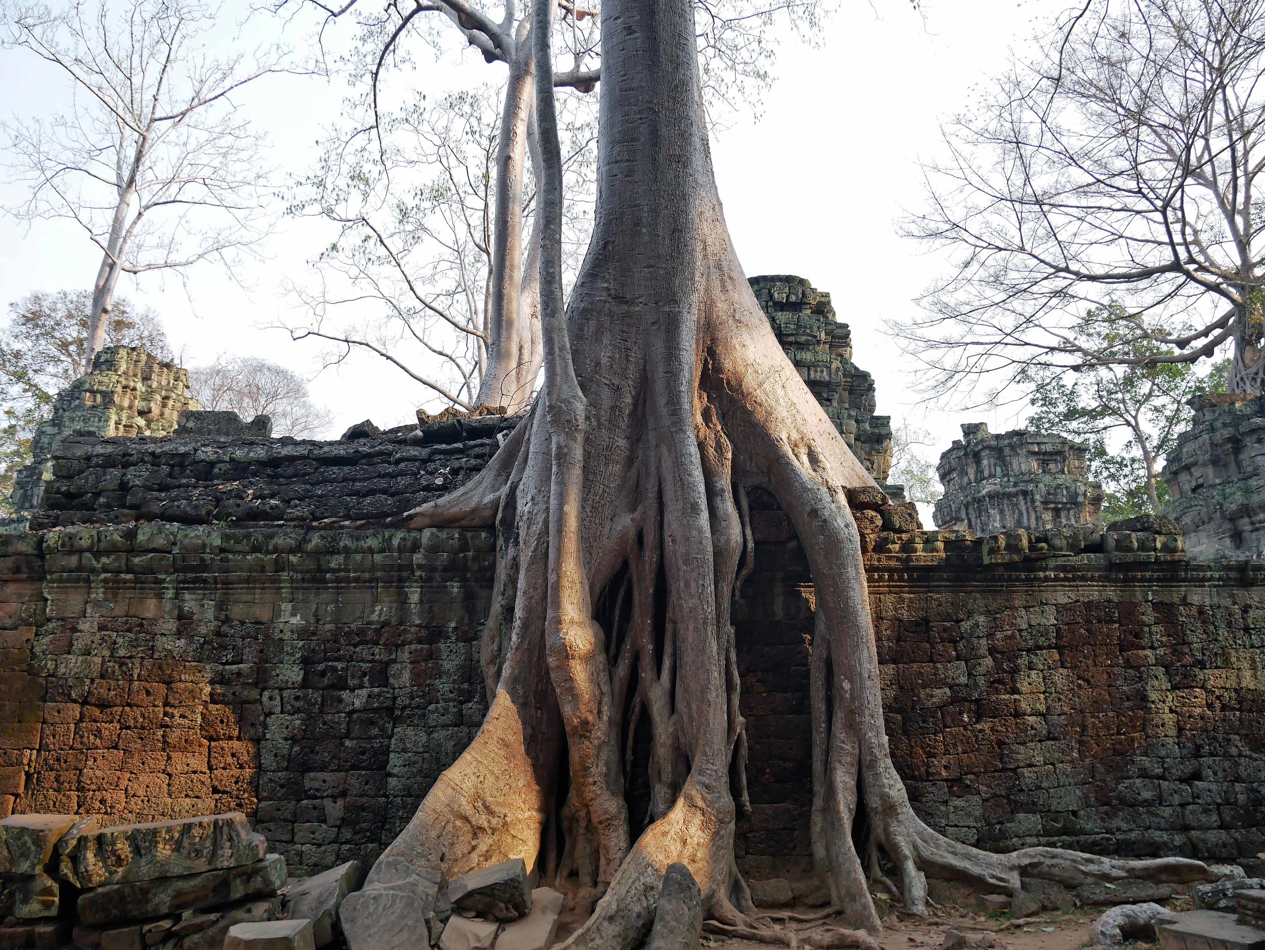 The large trees growing on Ta Prohm are thought to be silk-cotton trees (Feb 27).