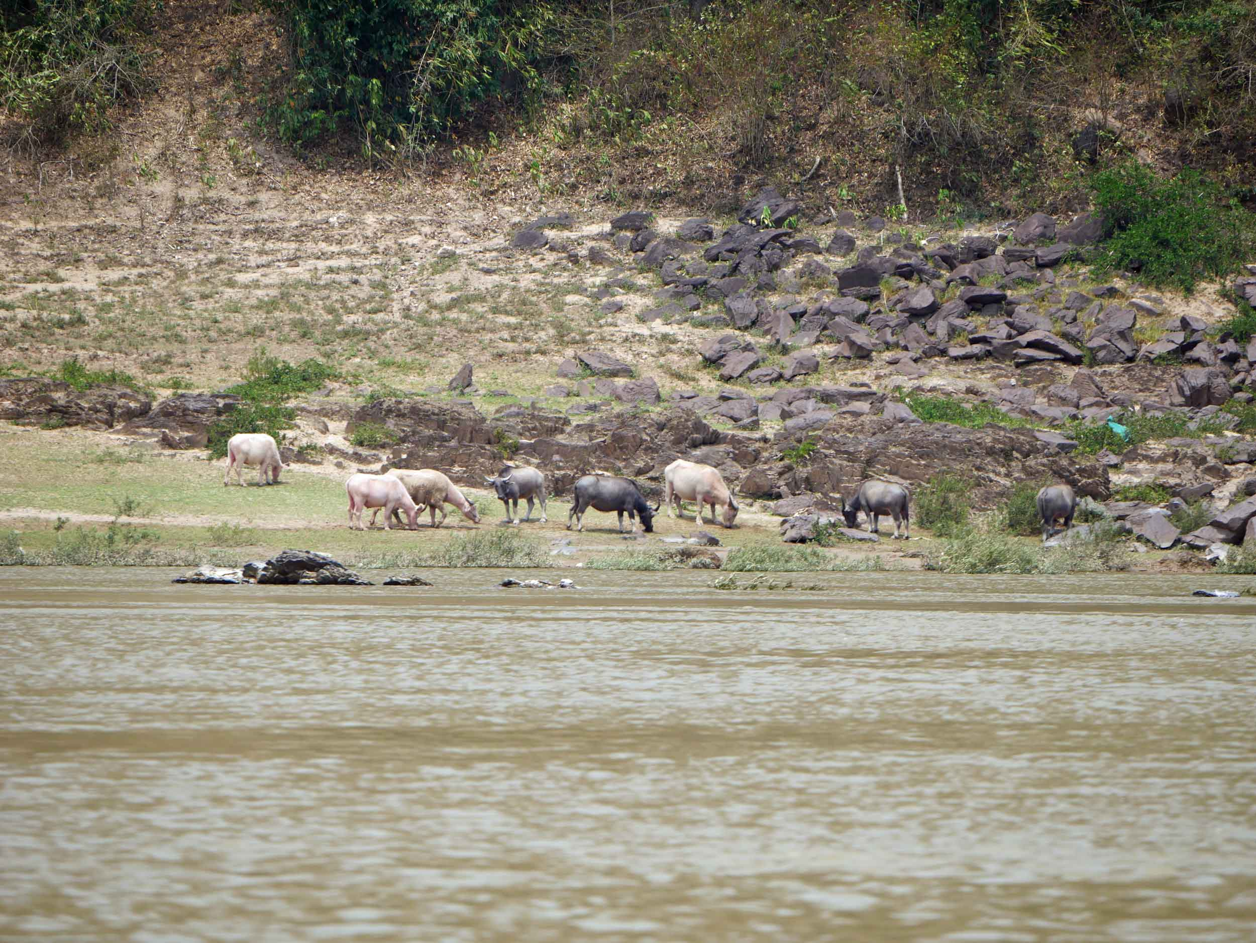 We saw lots of water buffalo along the river, mostly lying on the shores or submerged in the water to keep cool.