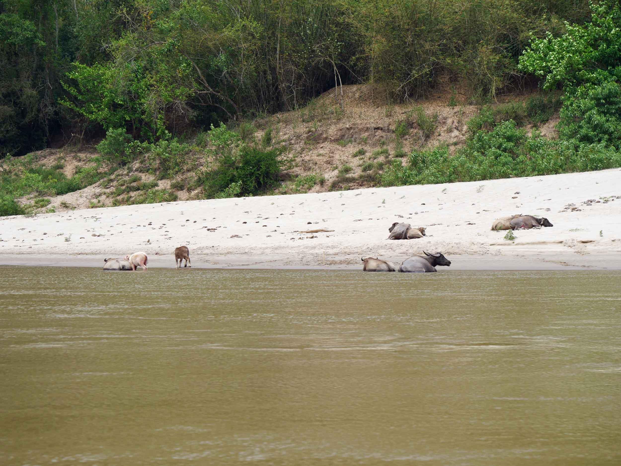 More lazy buffalo at the river's edge as we sailed along.
