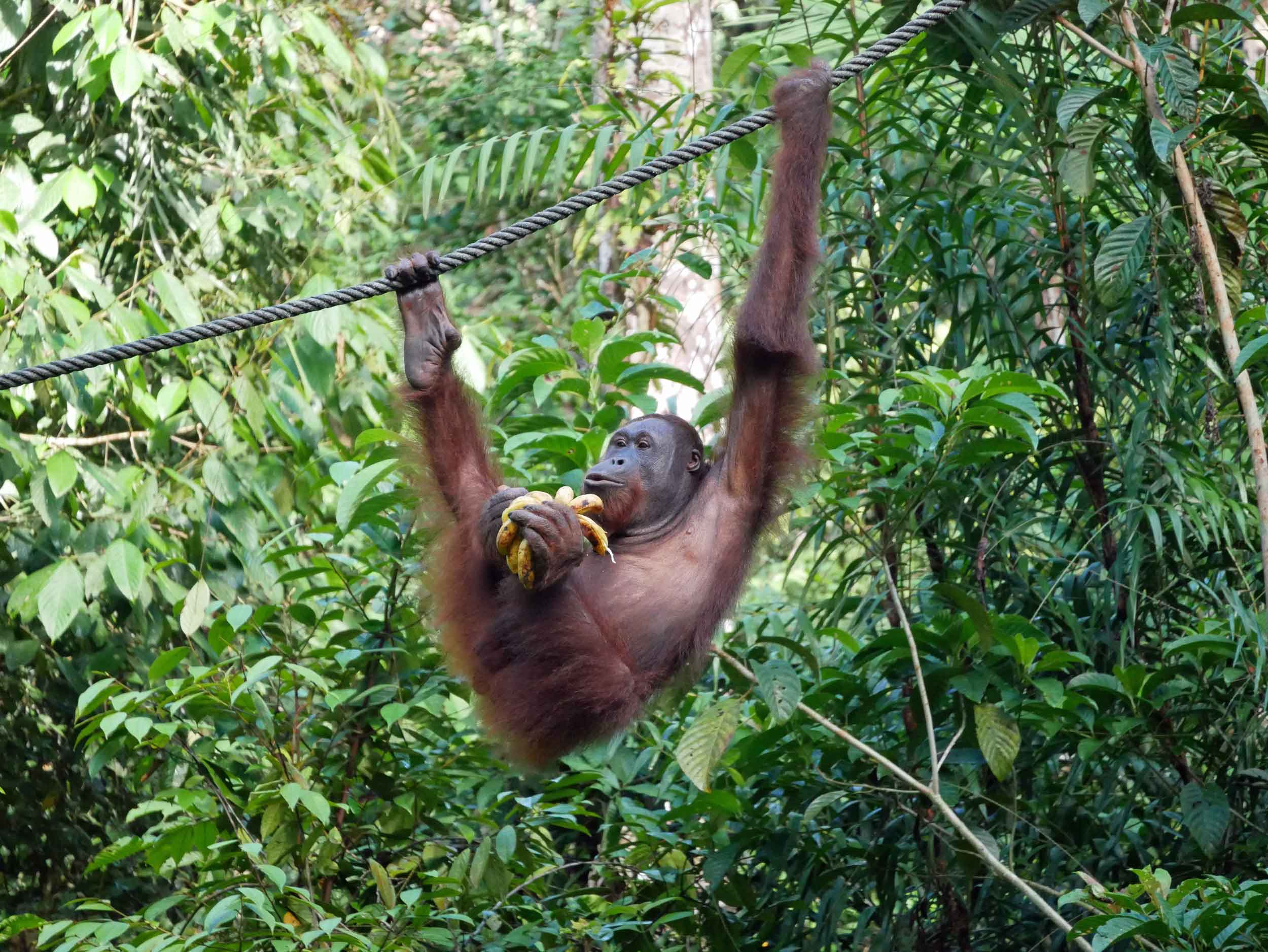 """Everyone say """"ahhh!"""" We visited Semenggoh Nature Reserve, where semi-wild orangutans are looked after,right at feeding time (May 3)."""