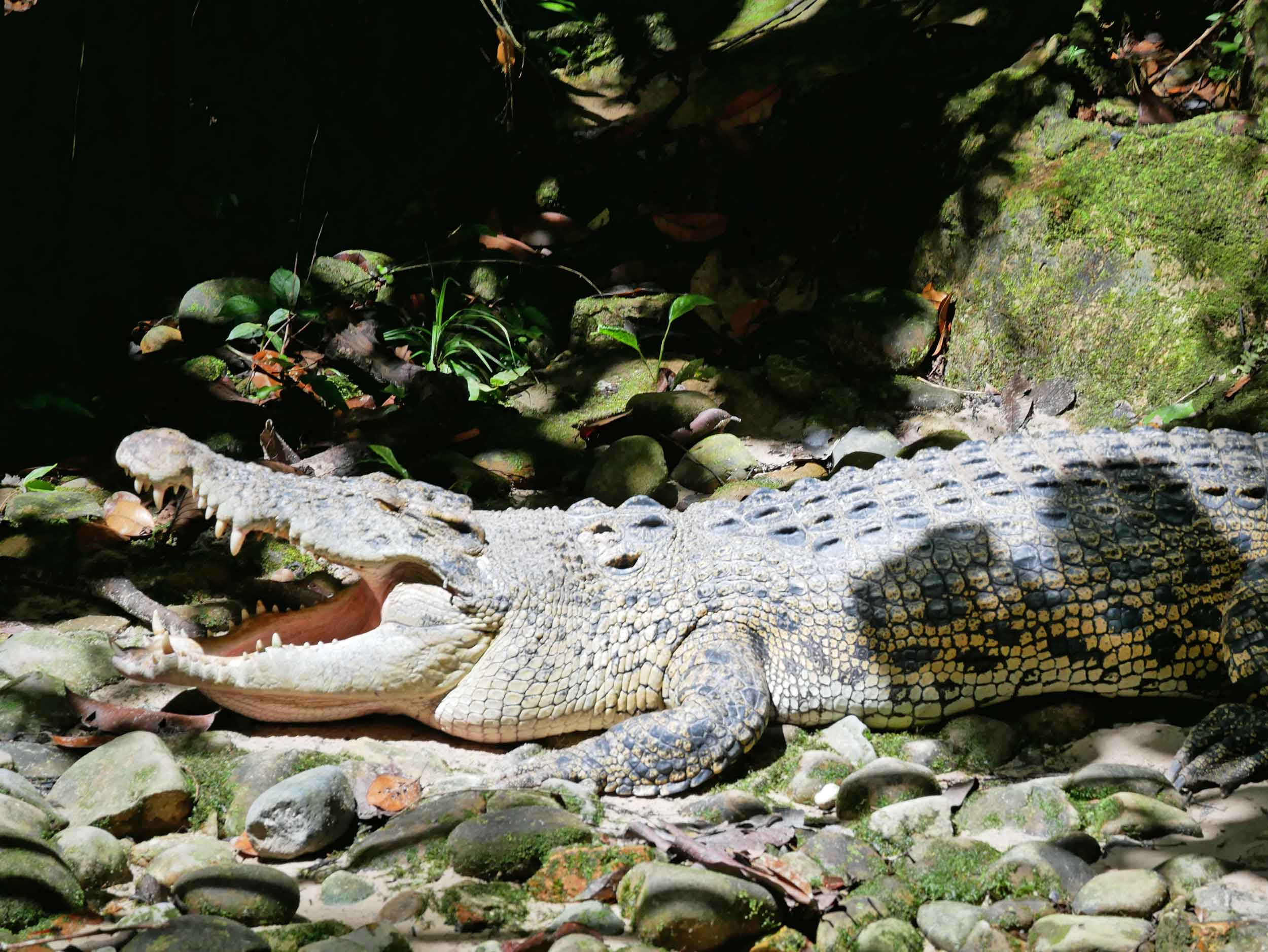 Sort of randomly, Semenggoh also rehabilitates crocs--we never quite figured out the connection!
