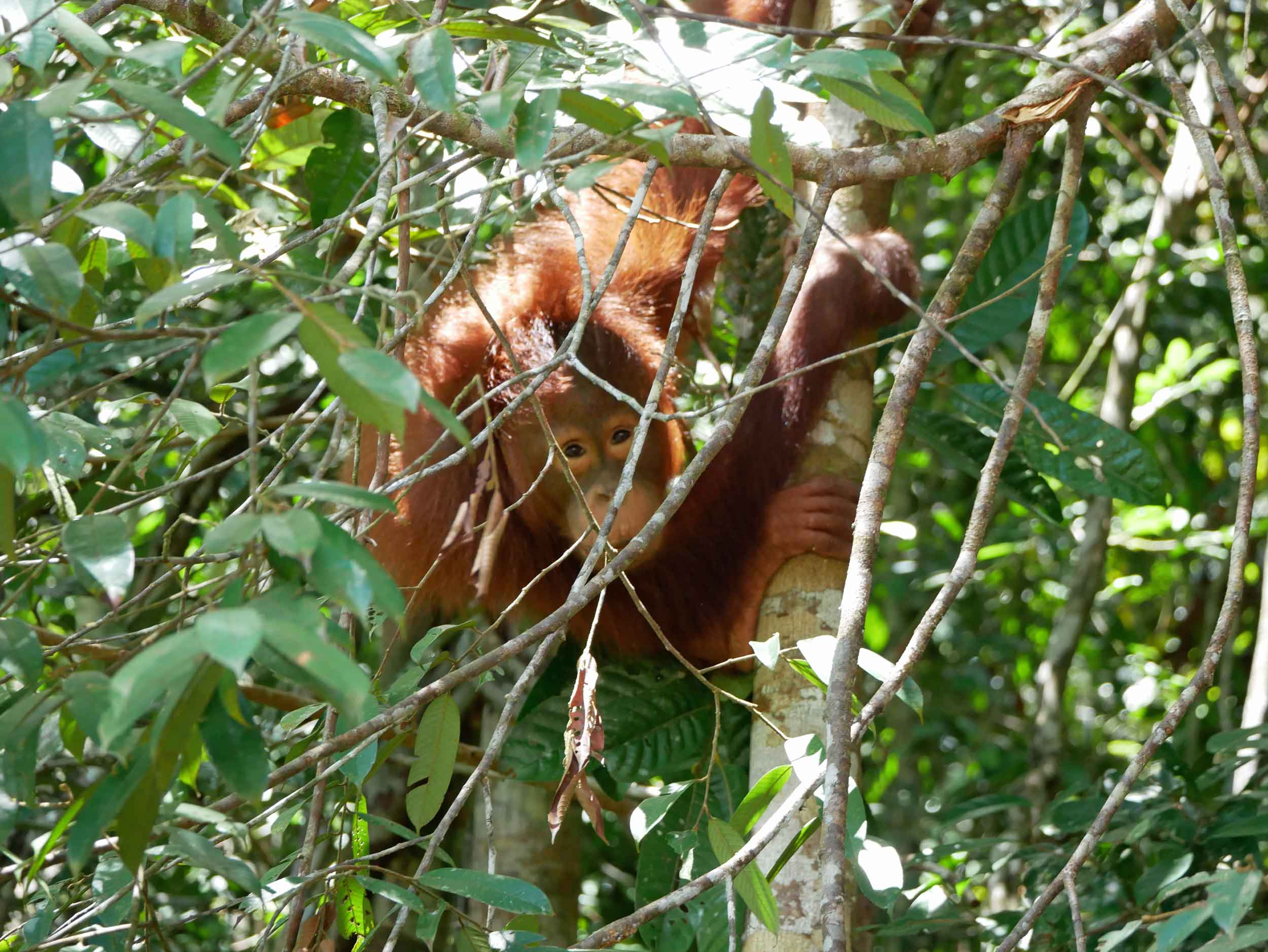 We later when to check out Matang Wildlife Center, which rehabilitates many different types of birds and animals, but were stalked by this young semi-wild orangutan who was up in the canopy.