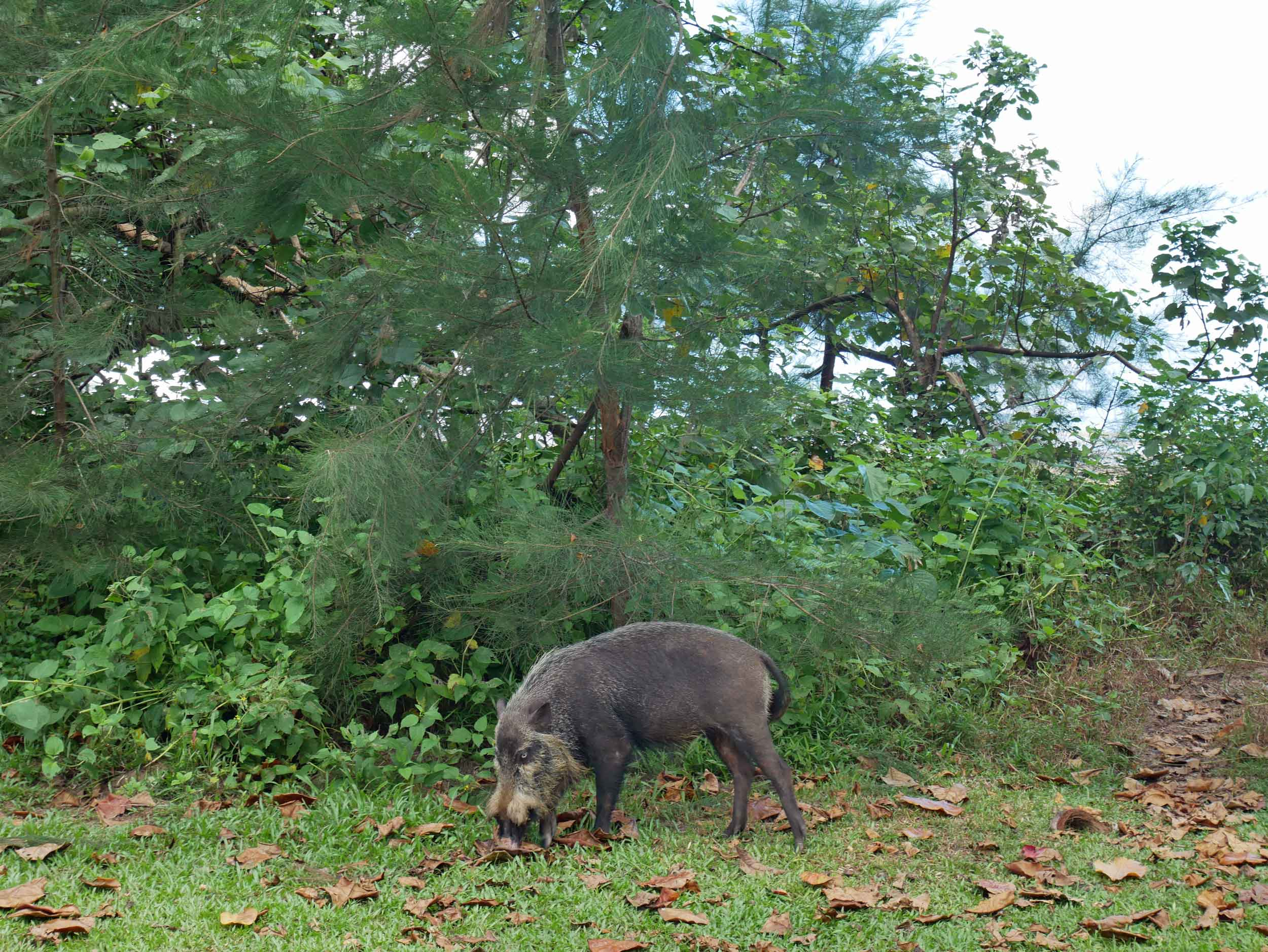 Right away, we were greeted by a Bornean bearded pig, which is so thin, compared to our pigs, that it almost seemed to be in 2-D.