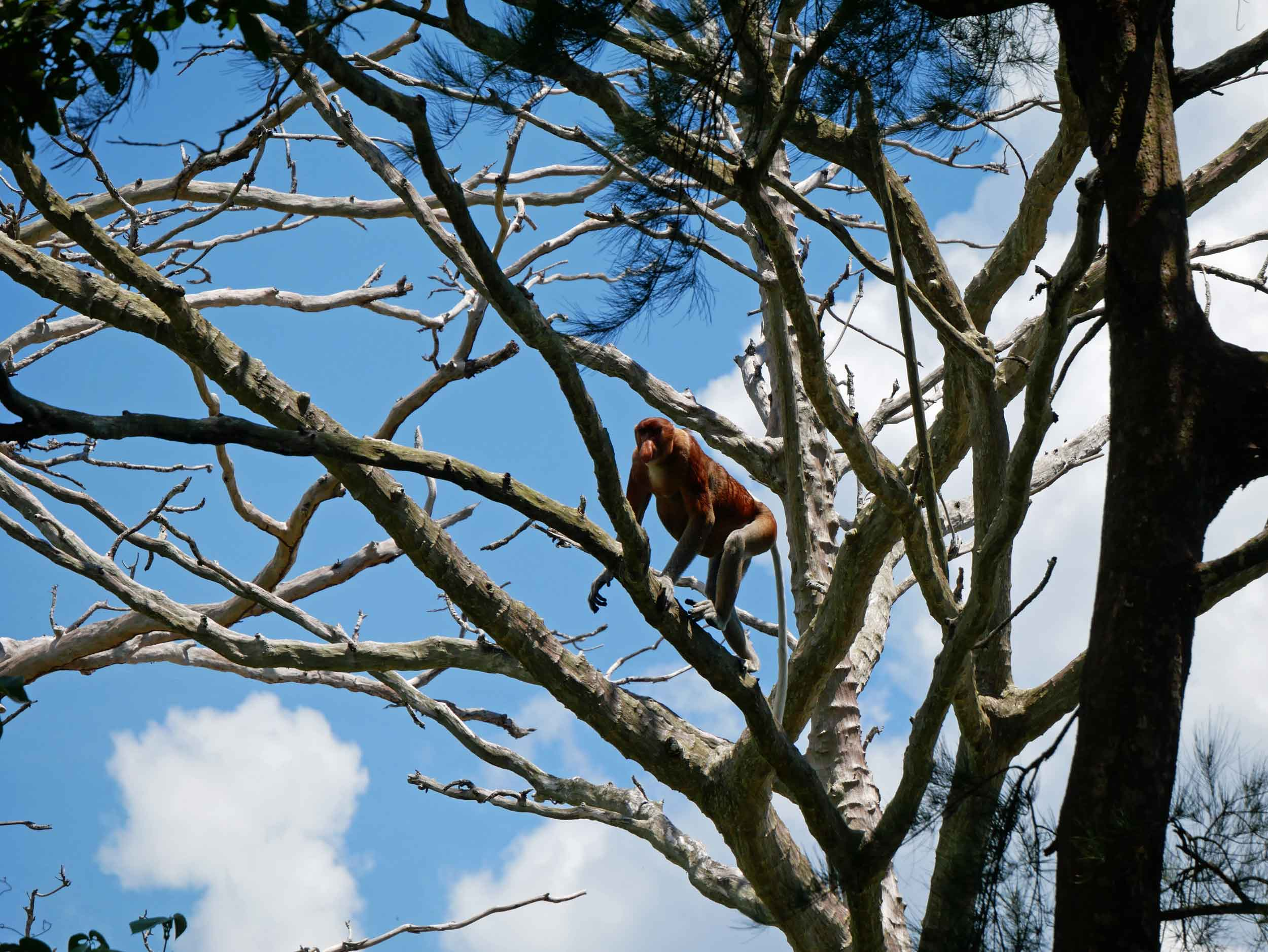 FINALLY! We spotted the rare proboscis monkeys, exclusive to Borneo and odd-looking with their pendulous noses.