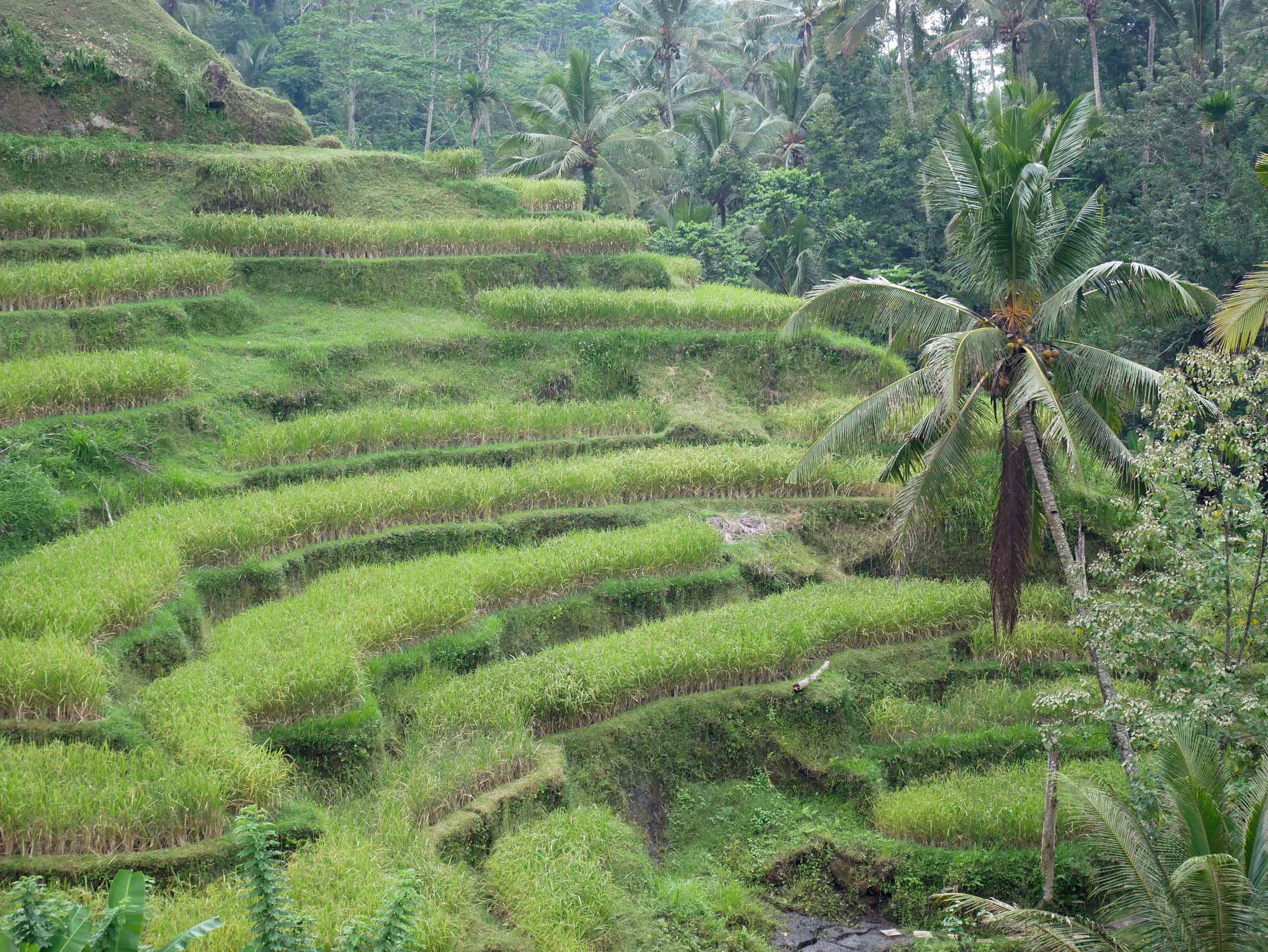 The terraces are a great examples of subak, the traditional Balinese irrigation system which is believed to have been passed down since the eighth century.