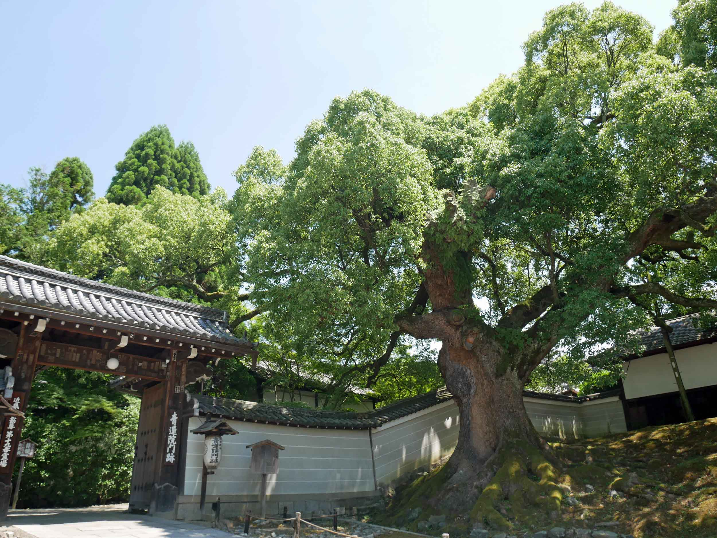 One of the oldest are the 800 year old camphor trees that line the complex walls.