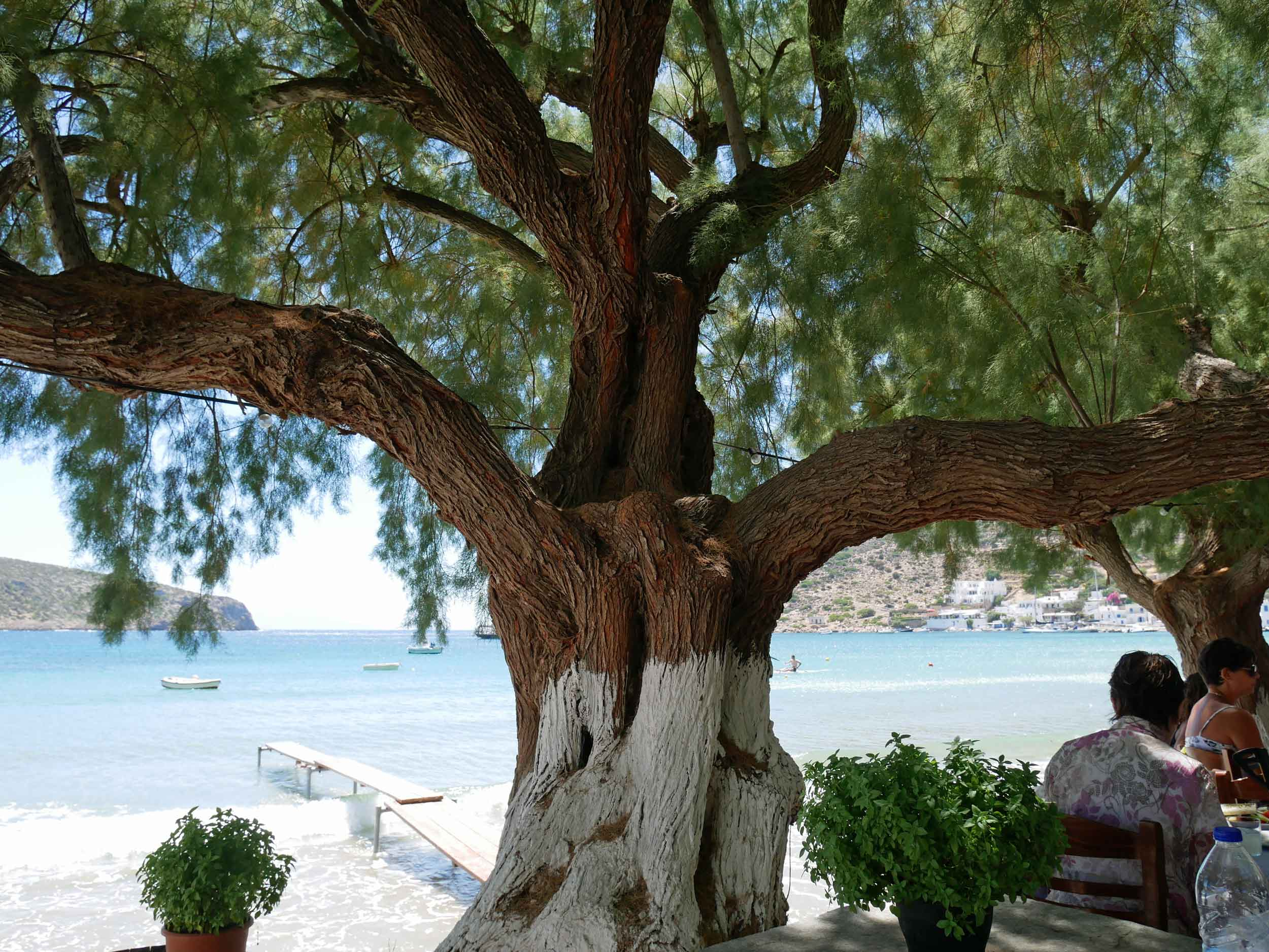 At our local lunch spot, Manolis, we dined al fresco under these beautiful trees!