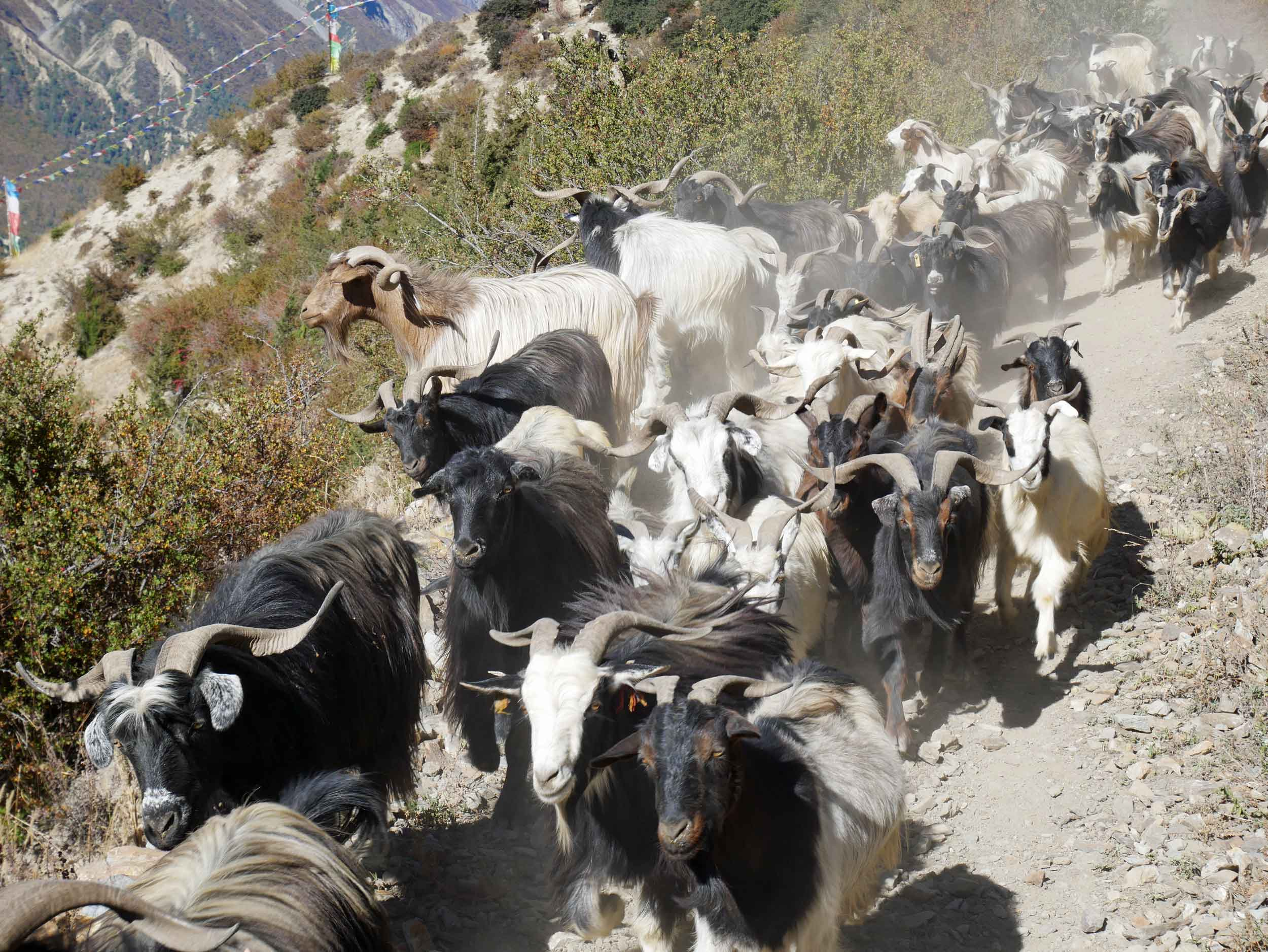 Rush hour! Our departure from Manang brought us even closer to village life as we officially depart territory covered by 'the Road' (Oct 7).