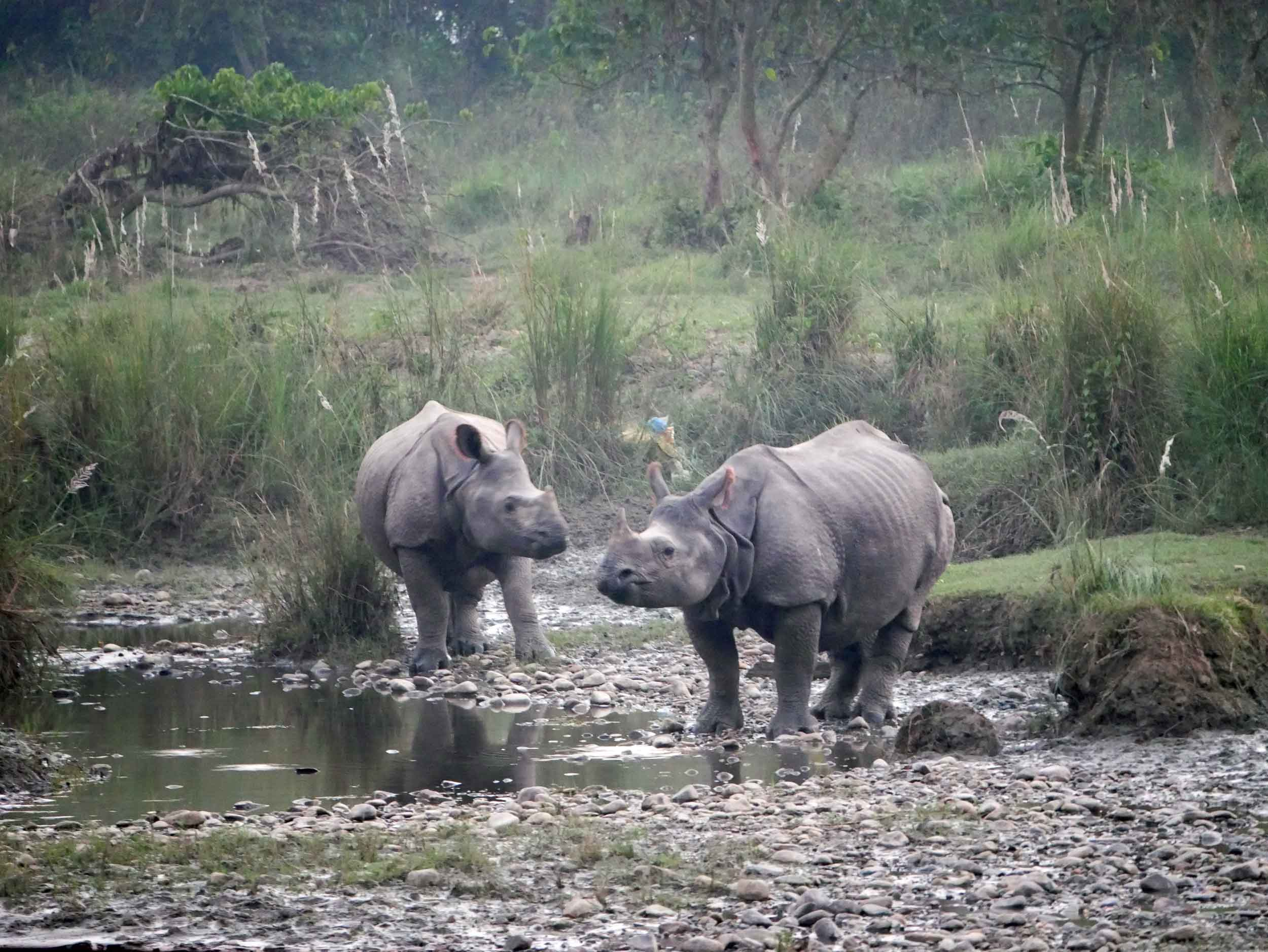 An auspicious start to our time in Chitwan National Park was viewing this pair Greater One-Horned Rhinos drinking and bathing in the river (Oct 14).
