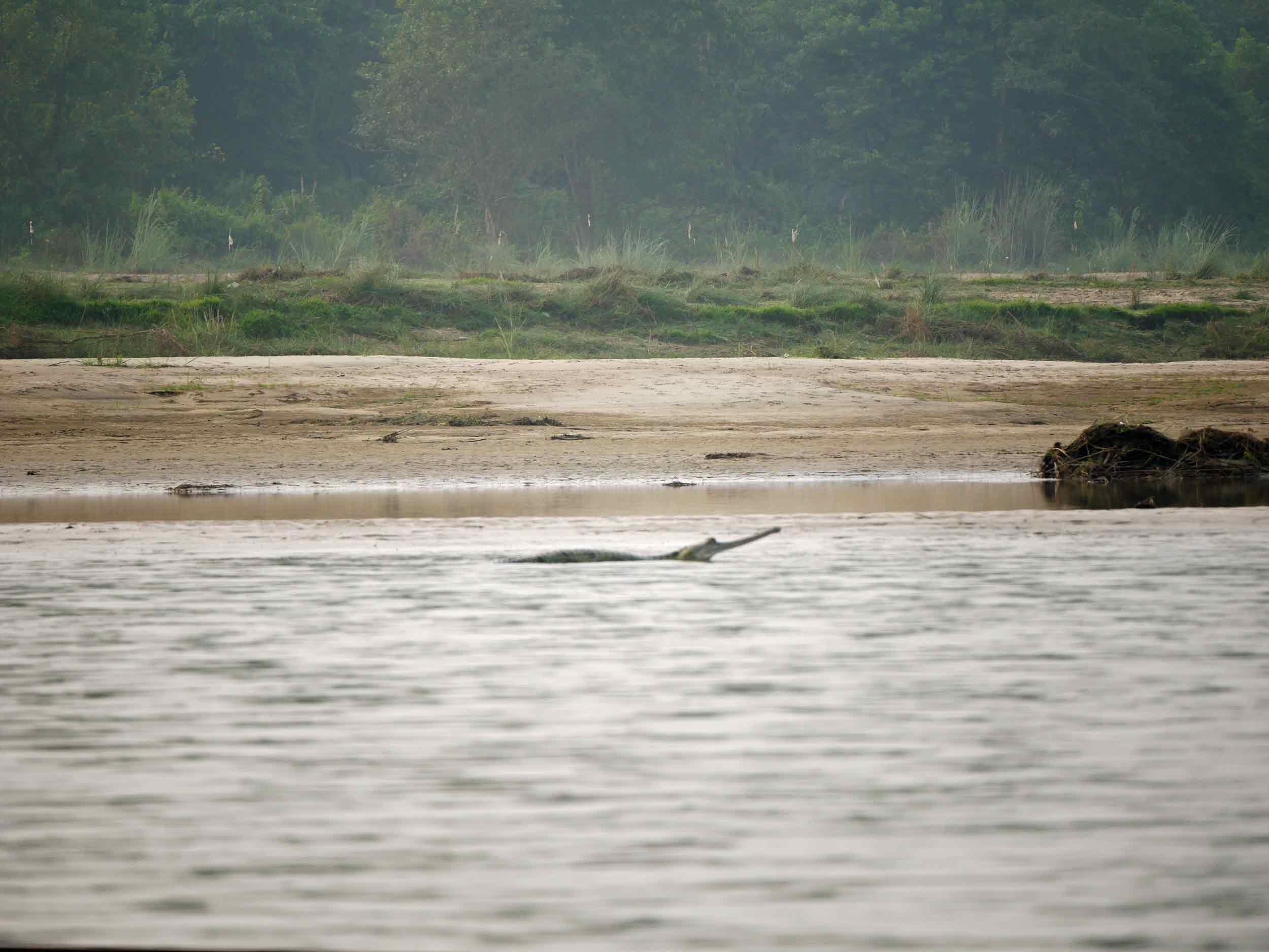 Our knee buckling dug-out canoe journey brought us in close proximity to these river crocodiles (Oct 15).