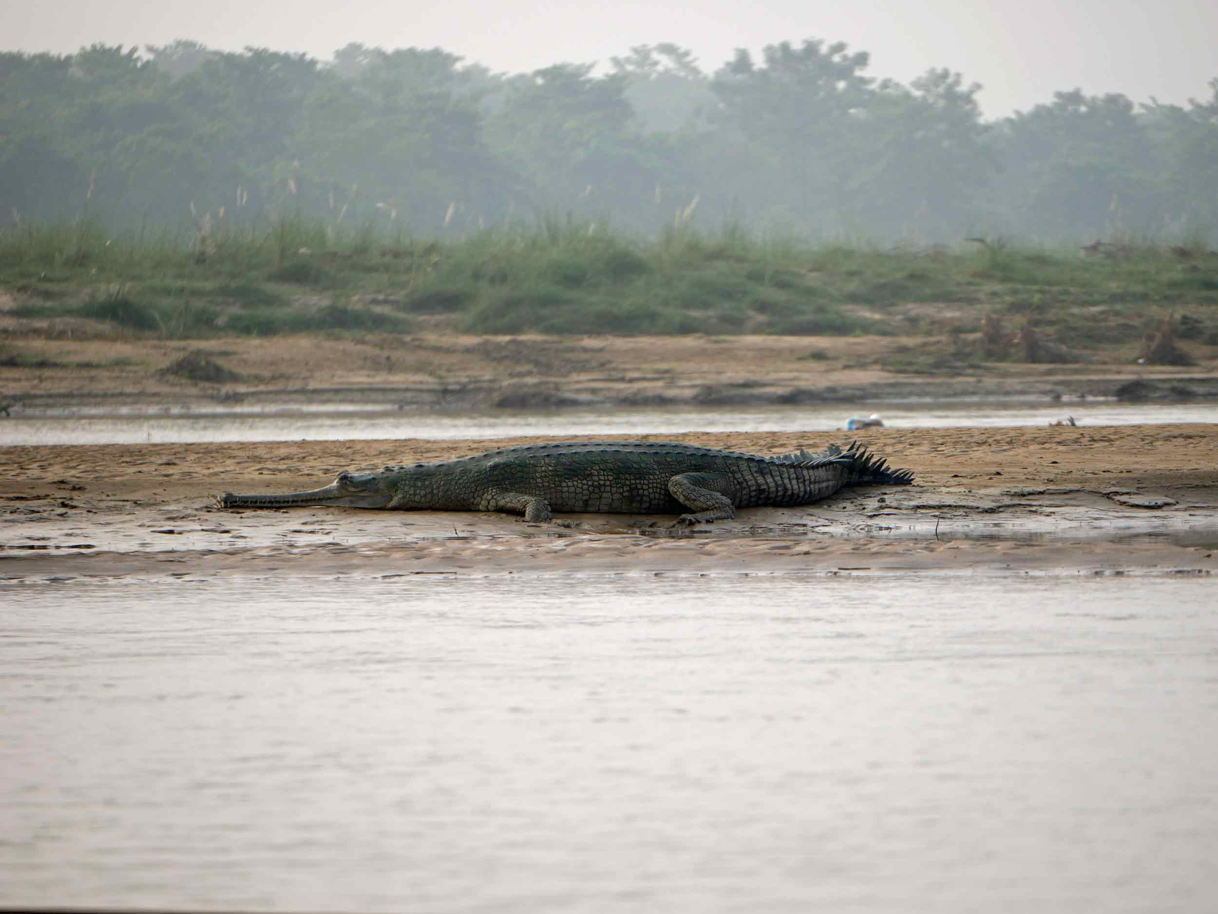 We were lucky to see both species of rare crocodiles - the Marsh Mugger and the Gharial -while in Chitwan.