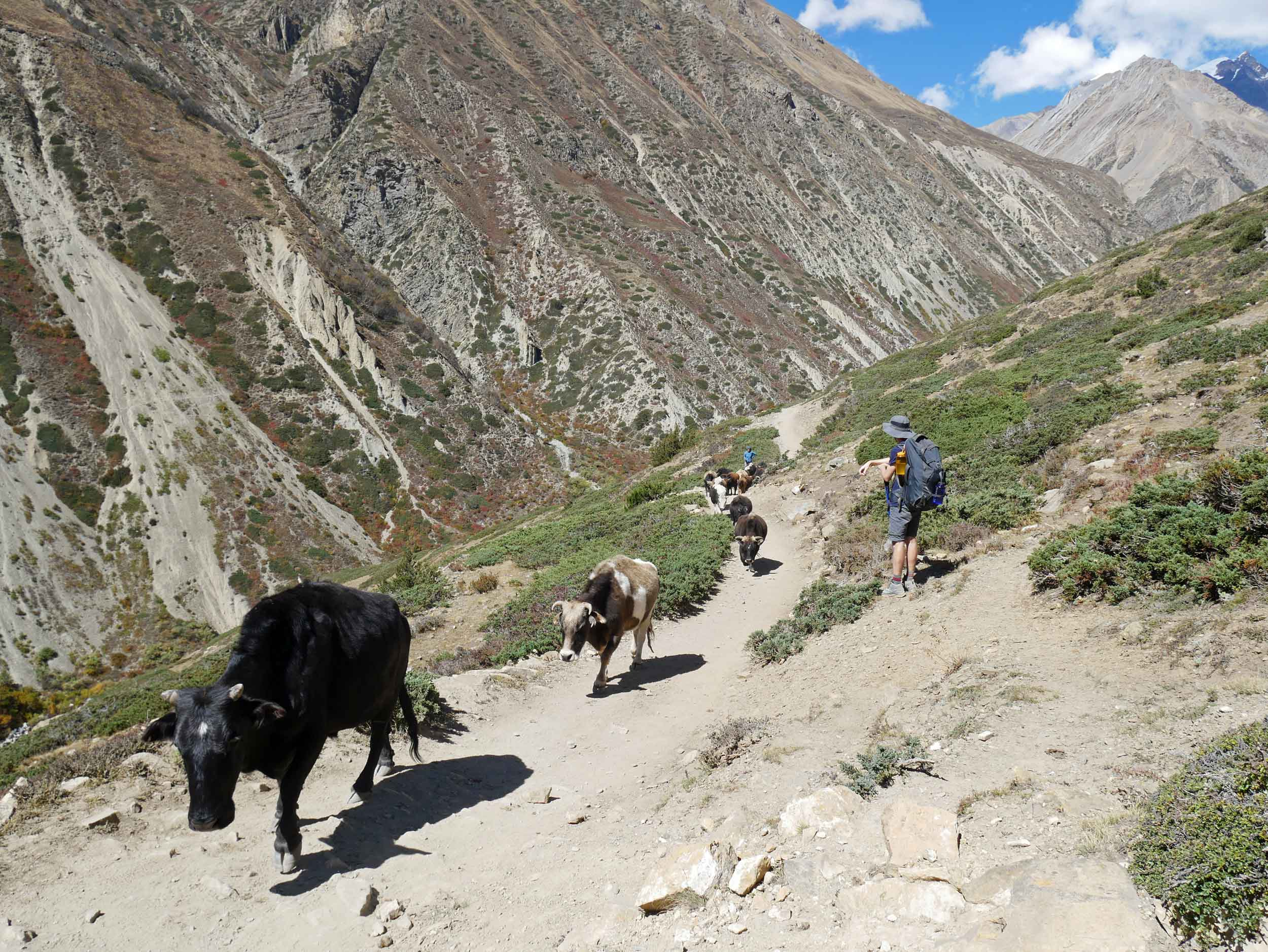Rush hour along the trail continues -this time with cows instead of goats.