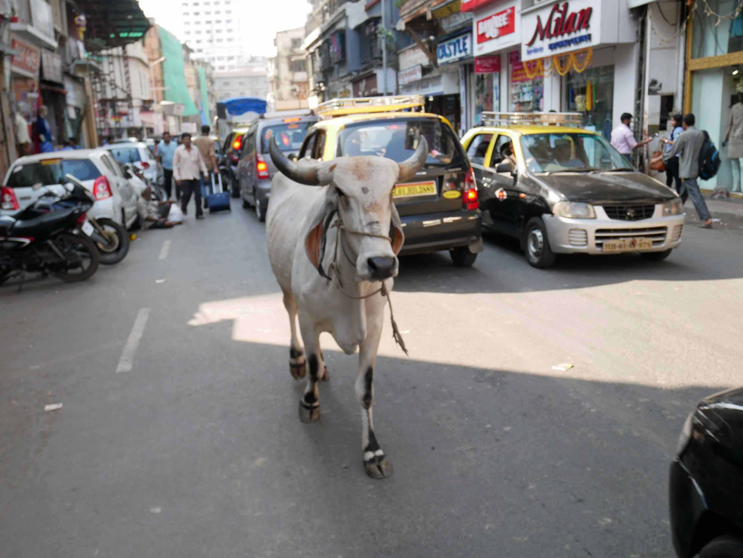 One of many famed cows who live amongst the crowds and traffic of Mumbai.