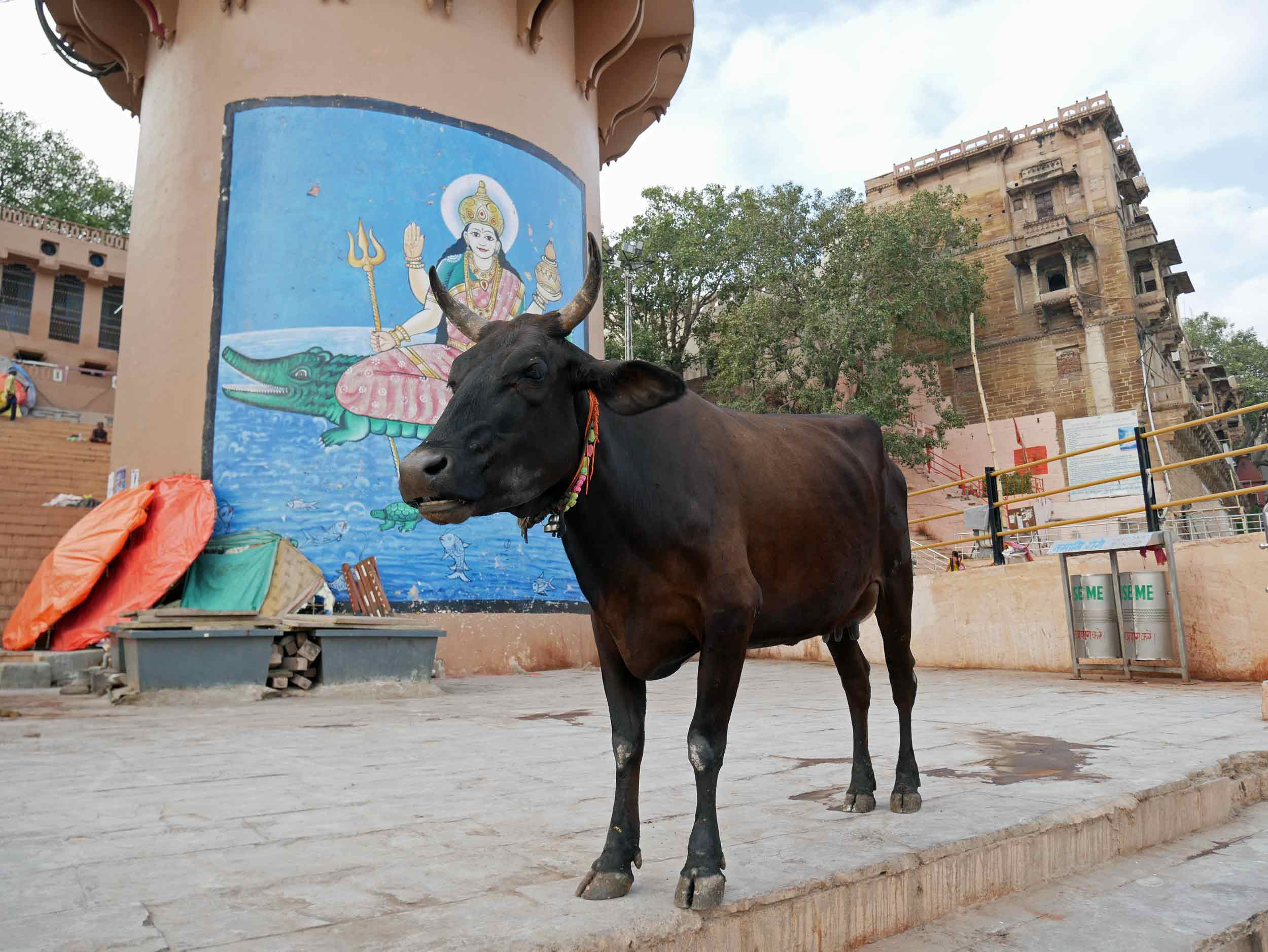 """According to Nanditha Krishna, the cow veneration in ancient India """"probably originated from the pastoral Aryans,"""" whose religious texts called for non-violence towards all bipeds and quadrupeds and often equated the killing of a cow with the killing of a human being, especially a Brahmin."""