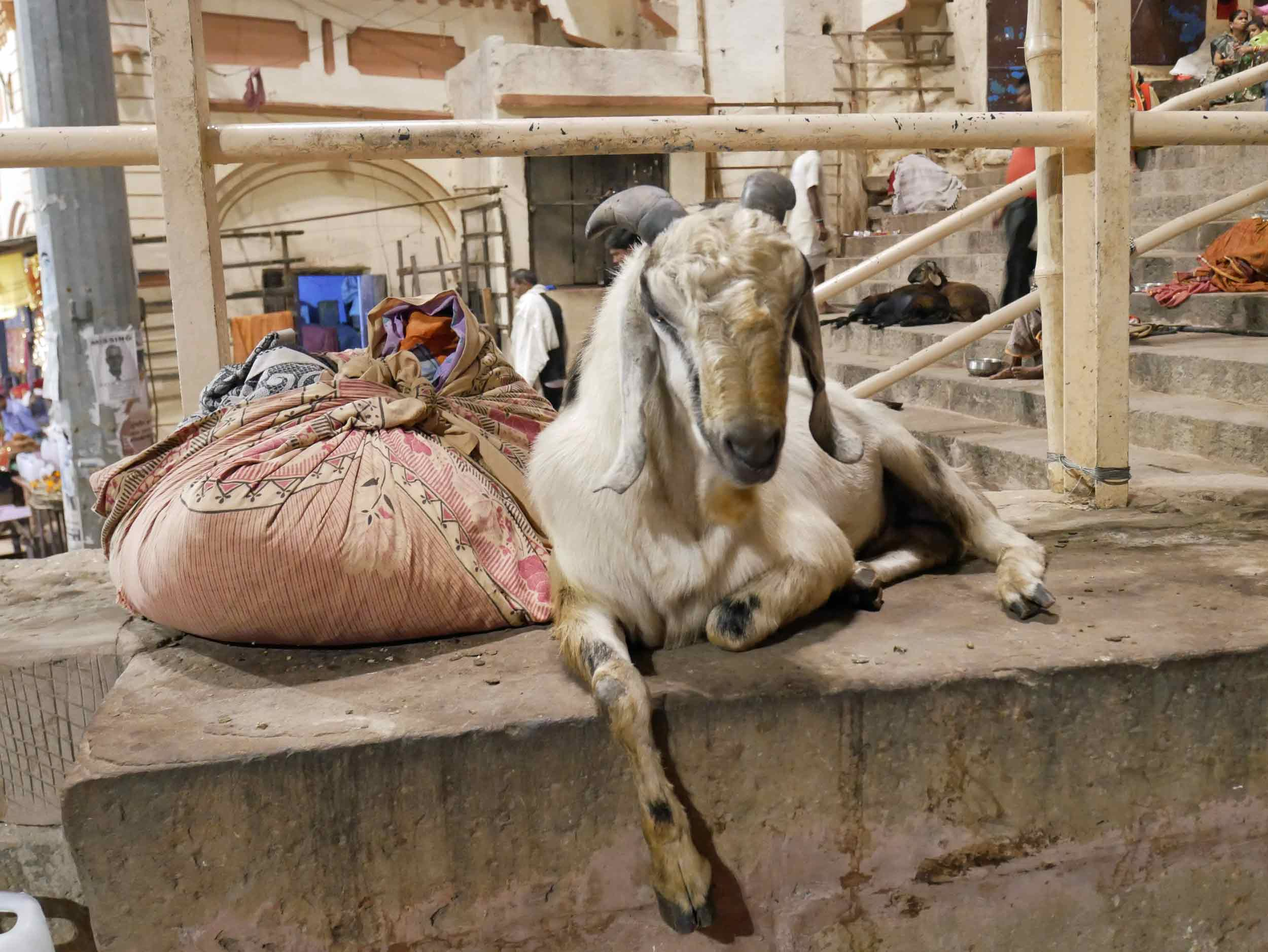 Back in Varanasi old town, Martin couldn't resist taking photos of these cute goats who have taken up residence on the  ghats .