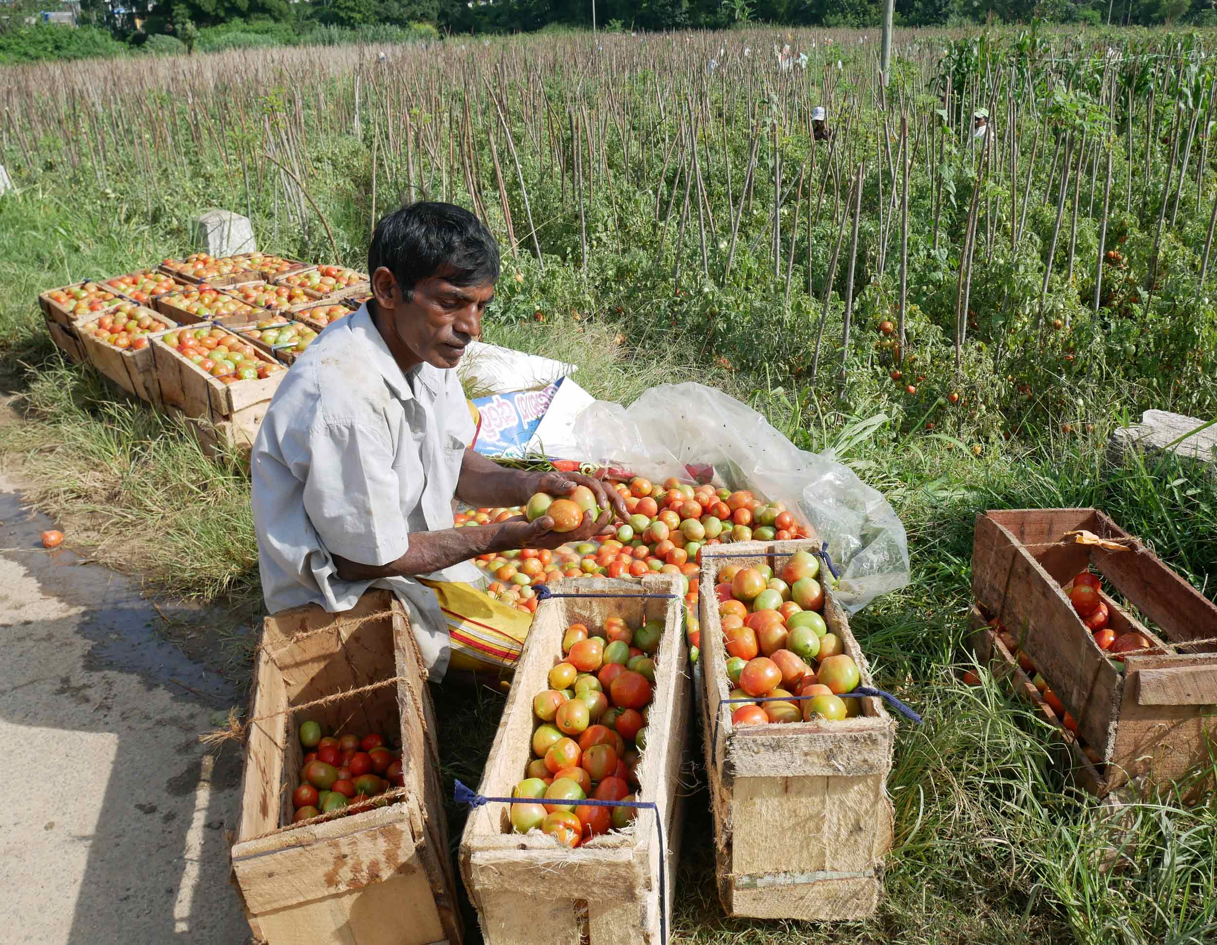 A man by the side of the road sorted tomatoes, which were harvested in the fertile valleys of Ella.