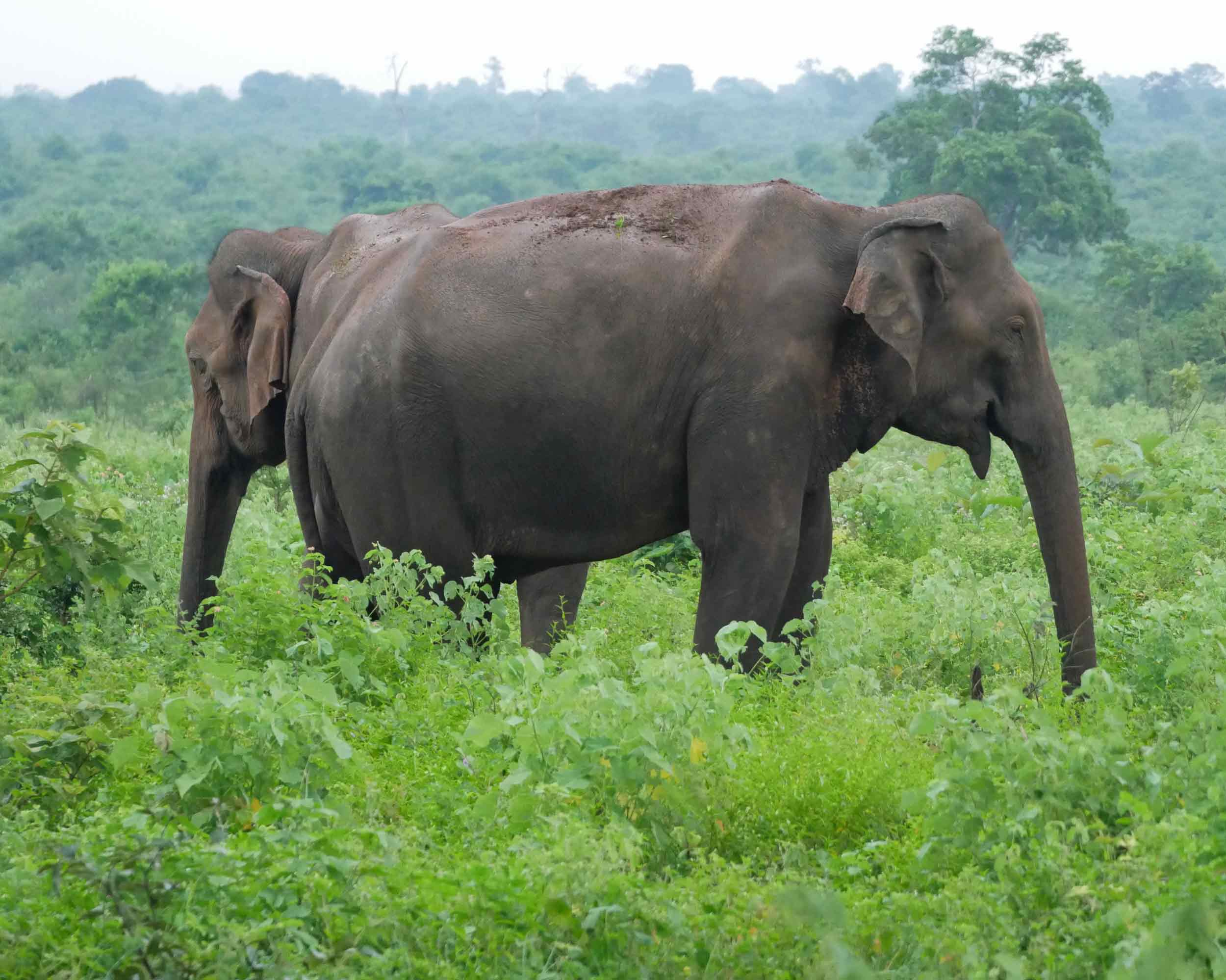 Safari in Udawalawe National Park brought us up close to the magnificent Sri Lankan elephants (Dec 20).
