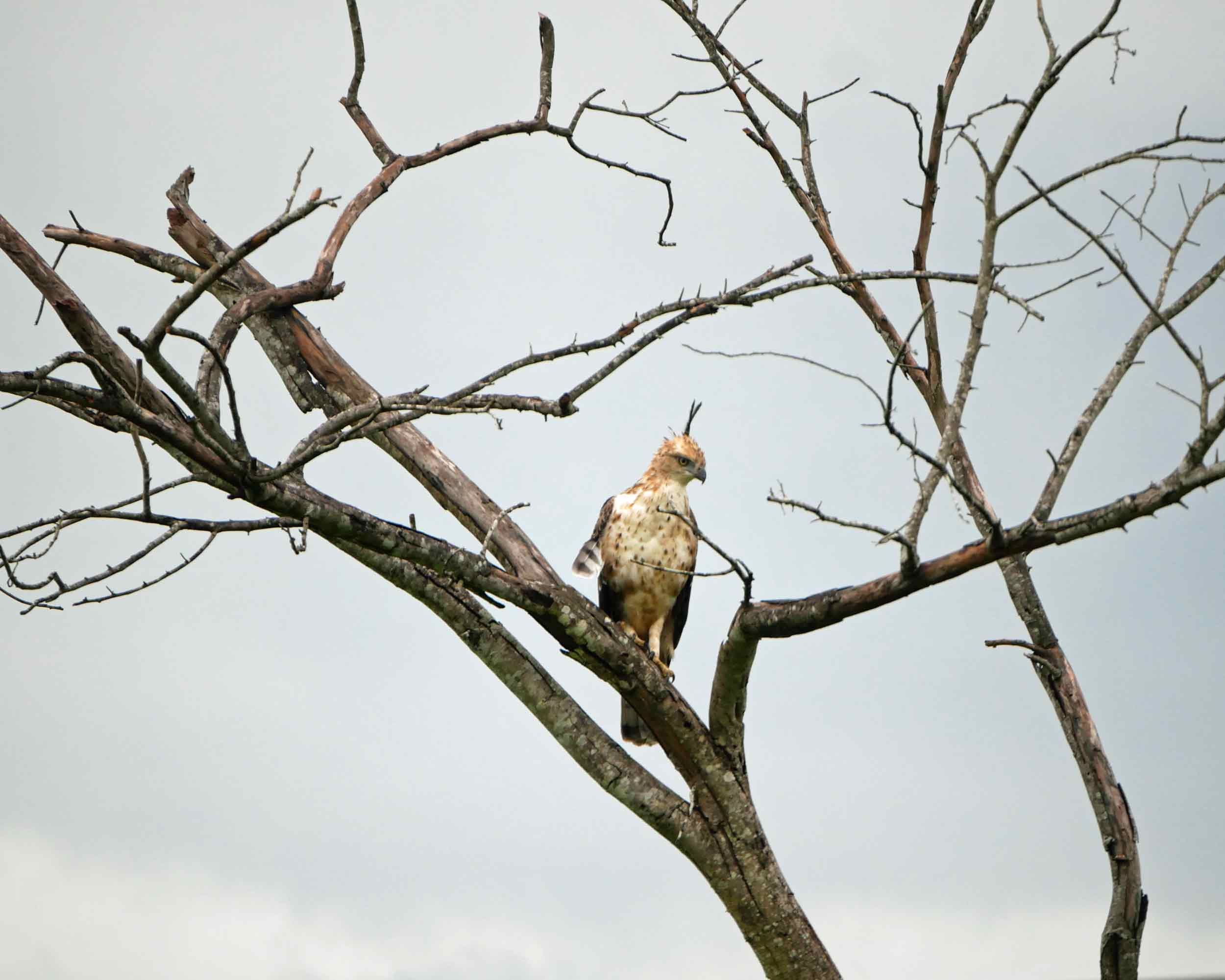 Another eagle! This time we spotted a Changeable Hawk Eagle.