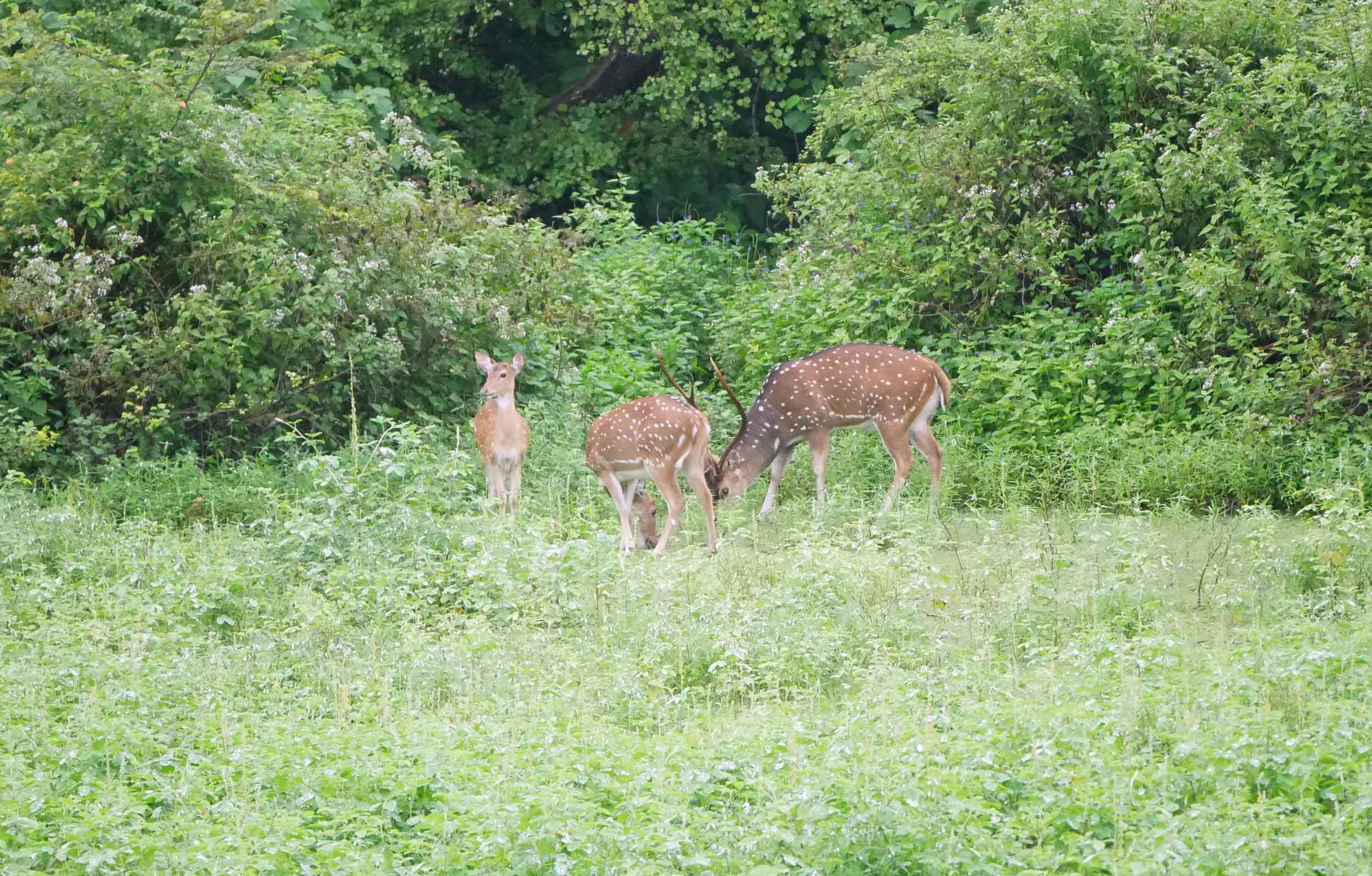 A small herd of Sri Lankan Sambar Deer grazed in a meadow.