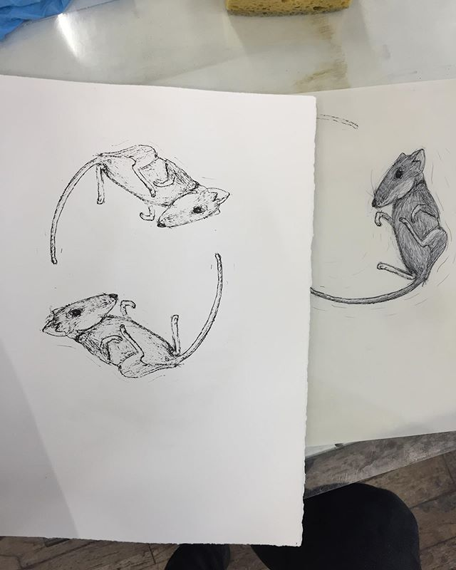 Ball point pen on pronto plate lithography. An ode to my cat Sampson's recent present. As part of my internship at ZeaMays I get to help run the workshops and this one has been great! I have learned so many little tricks about pronto plates and printing litho. . . . . . #printmaking #lithography #litho #prontoplate #lithograph #print #mice #mouse #drawing #penandink #sketch #fieldmouse