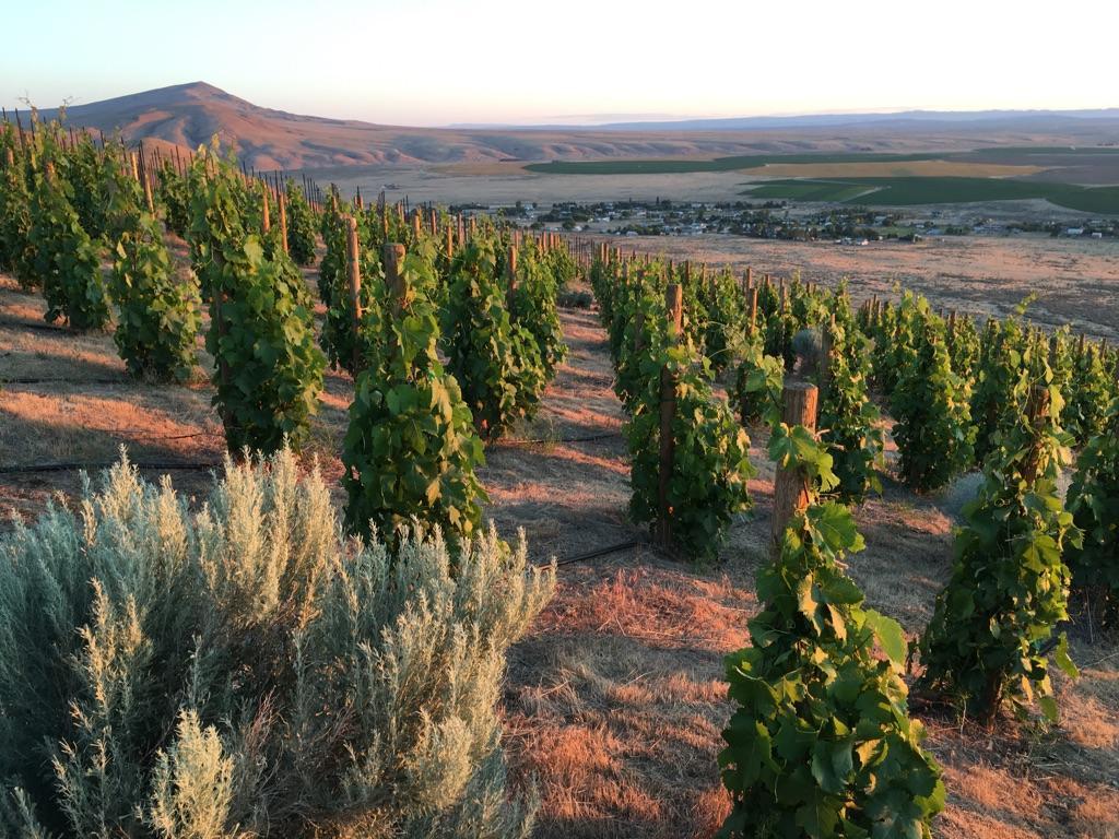 New vineyard block - Graciano.
