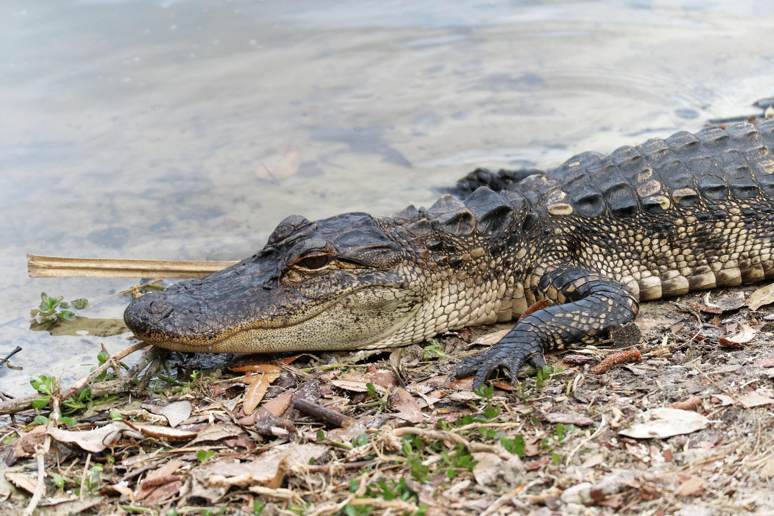 Alligator (  Alligator mississippiensis  )  @ Mayo Clinic