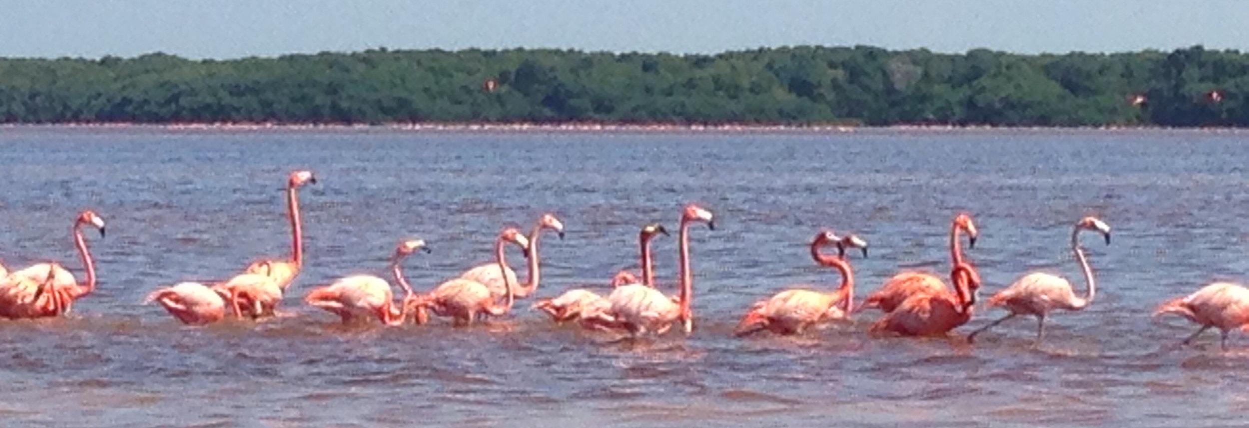 Flamingos in Ria de Celestun, Yucatan, Mexico