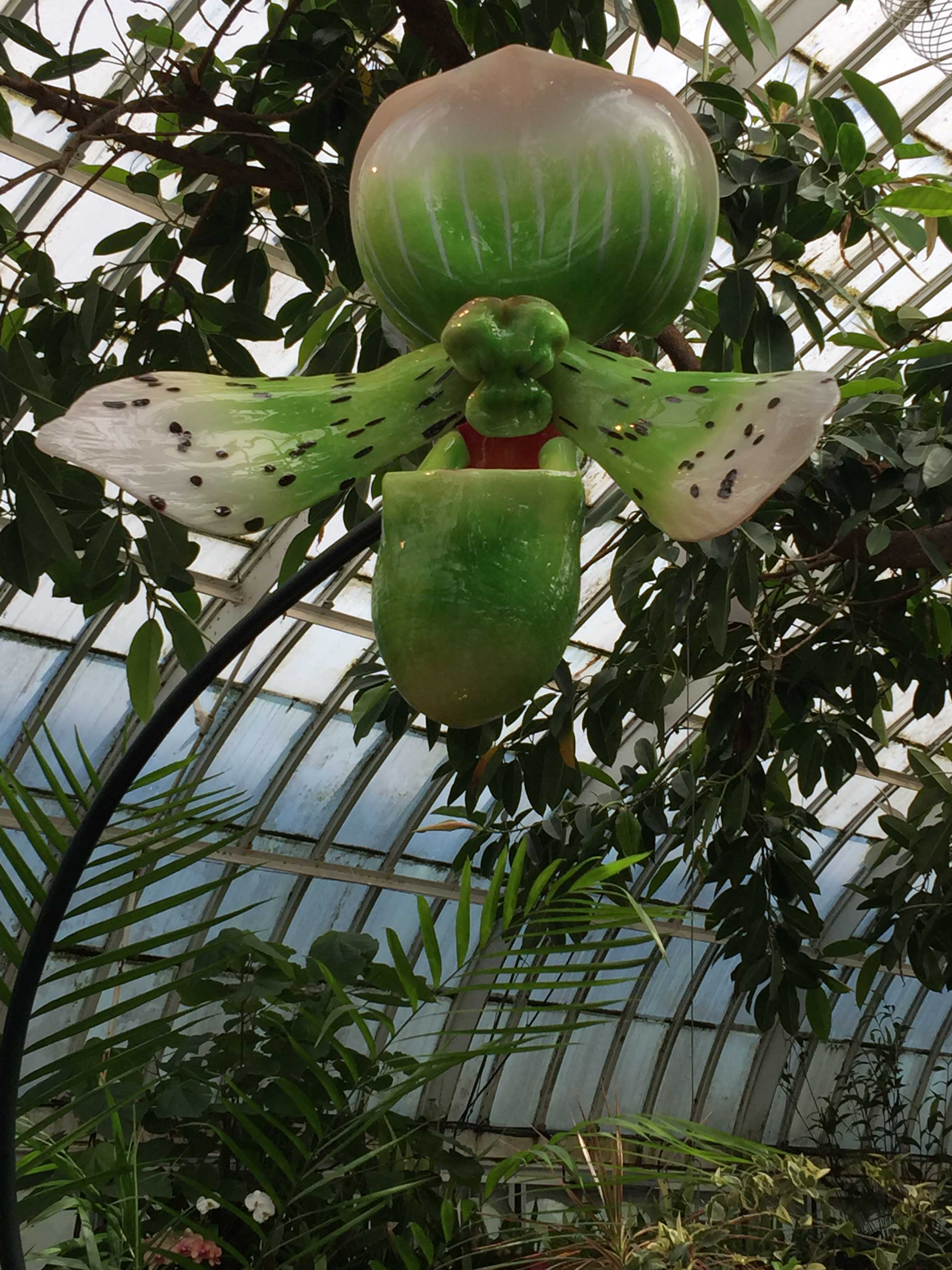 phipps-green-giant-tall.jpg