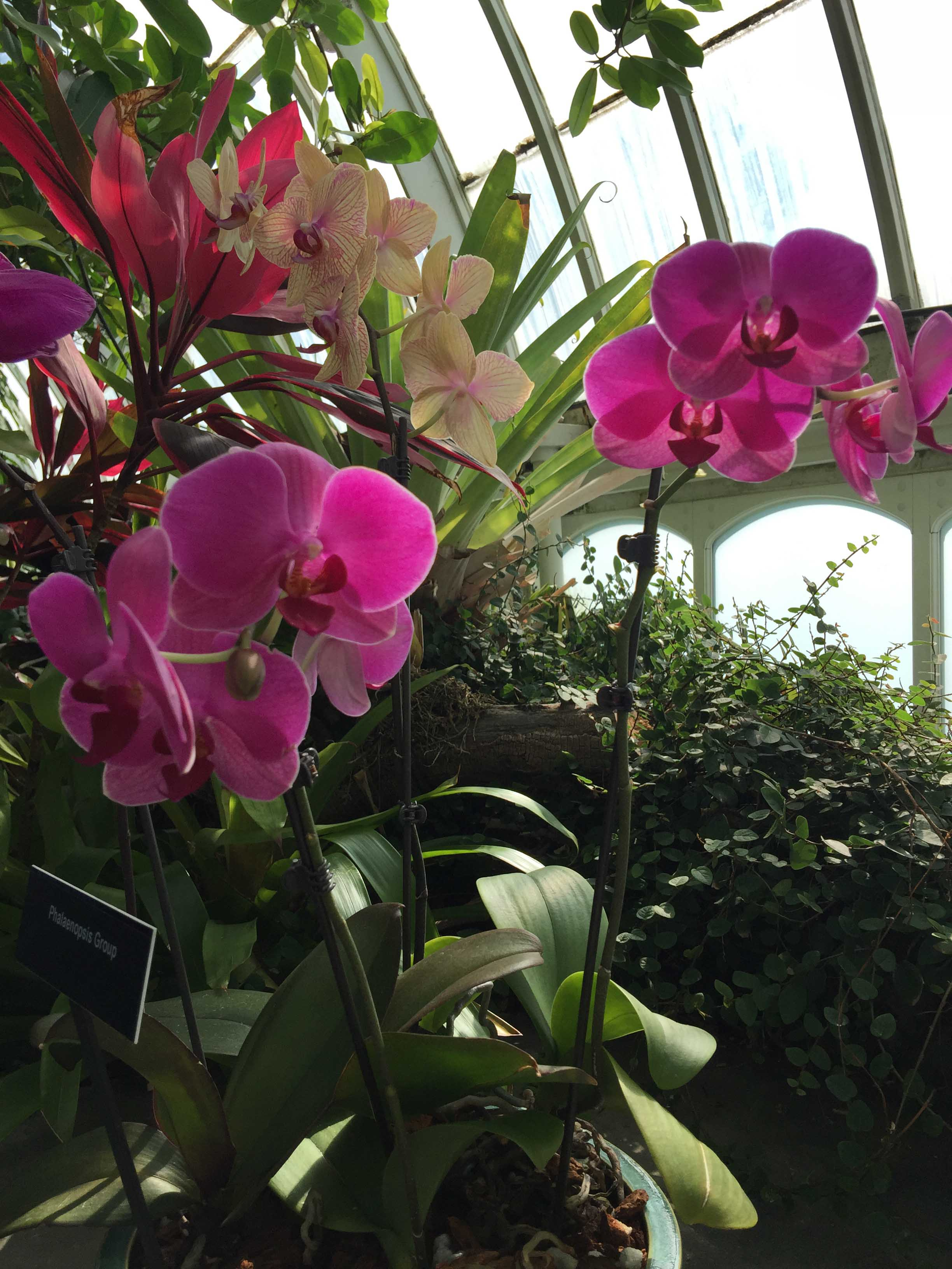 phipps-tall-pink-orchids.jpg