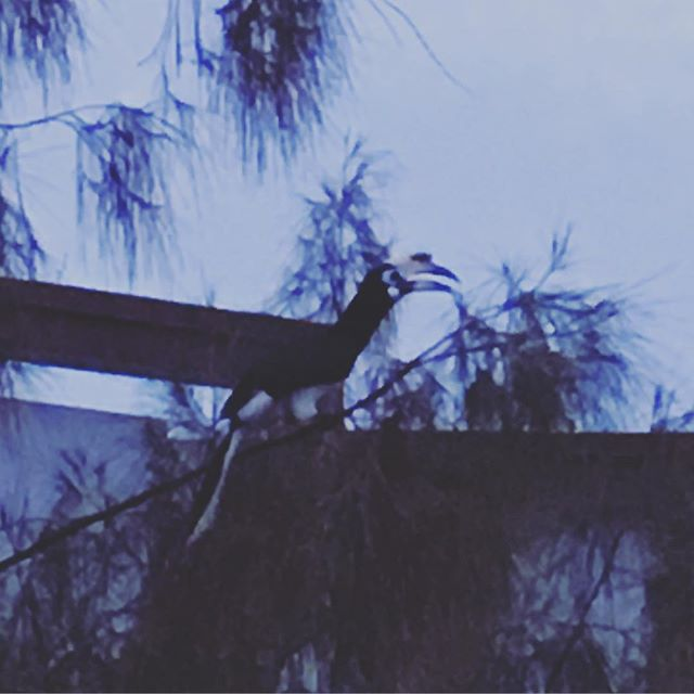 This gigantic hornbill showed up at dawn this morning. Rude fellow v loud