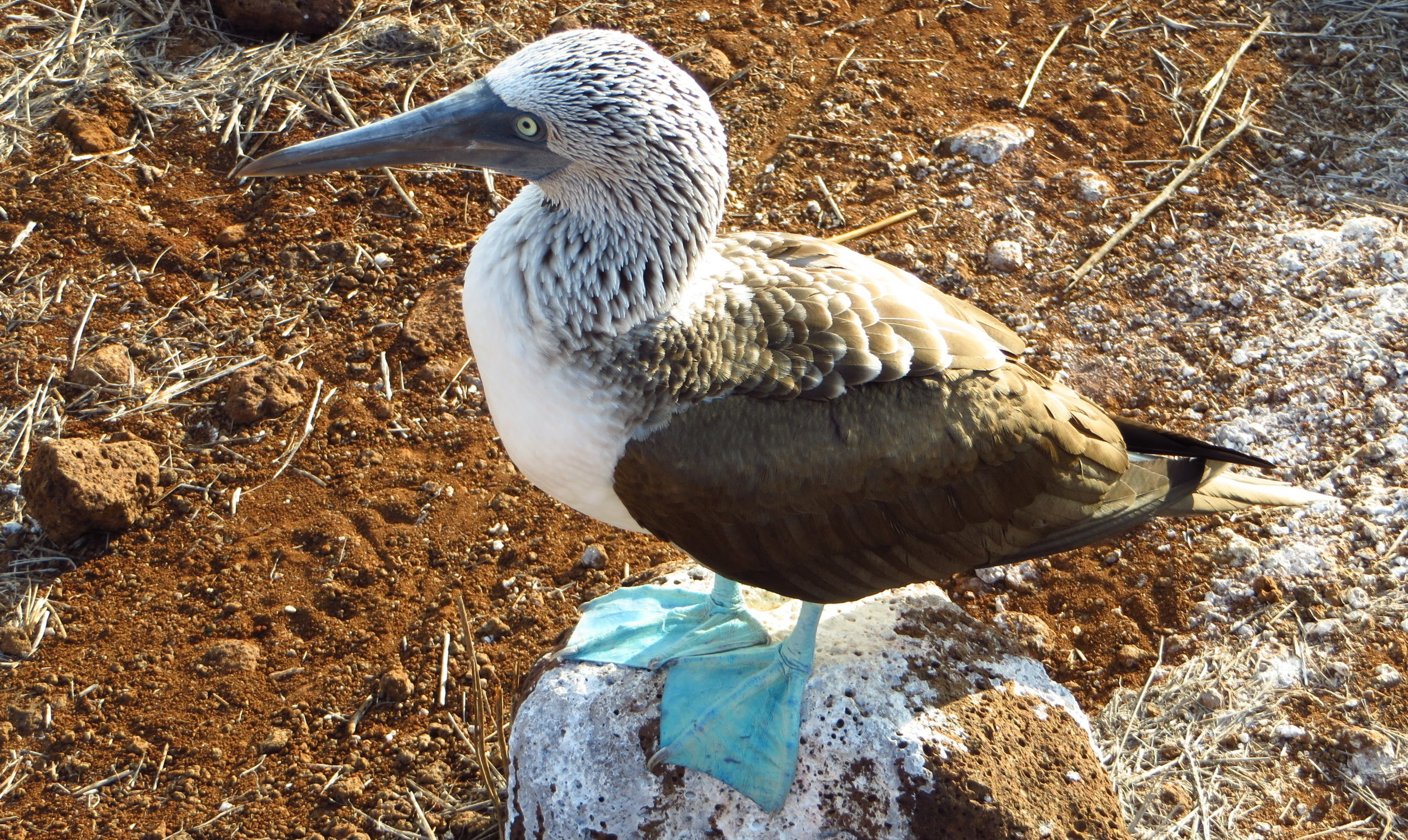A blue booby in the Galapagos islands