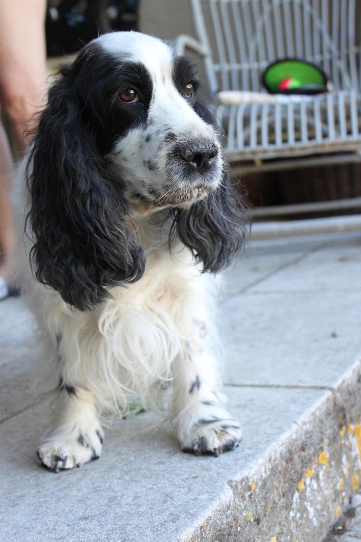 Jules and Louis blog - Cocker Spaniel Lilly - ik wou dat ik een hondje had.png