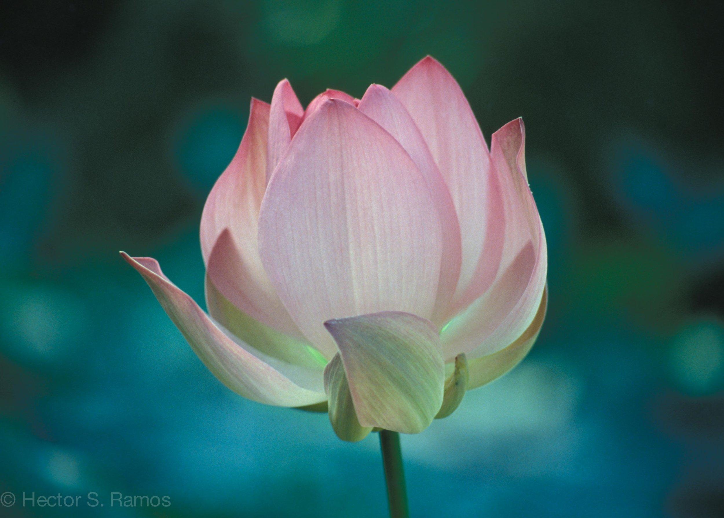 Lotus at Sri Aurobindo Ashram, Tamil Nadu. Photo: Nikon F801s, AF 35-70mm, Kodak Elite 100.