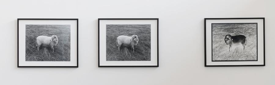 Alice Shaw,  Ba Ba Black Sheep  (2017/18), 3 gelatin silver prints
