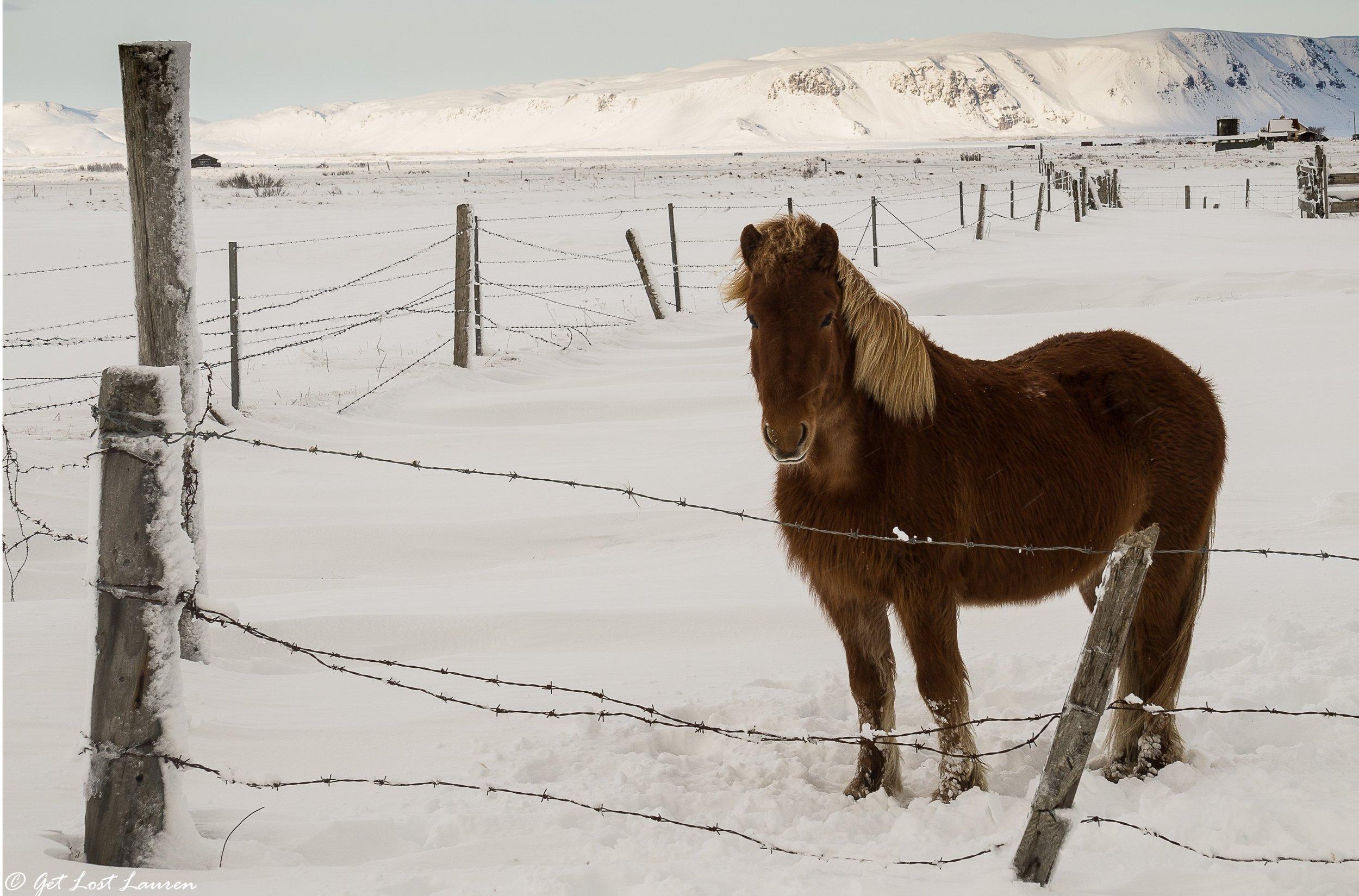 GLL_IcelandHorse2.jpg