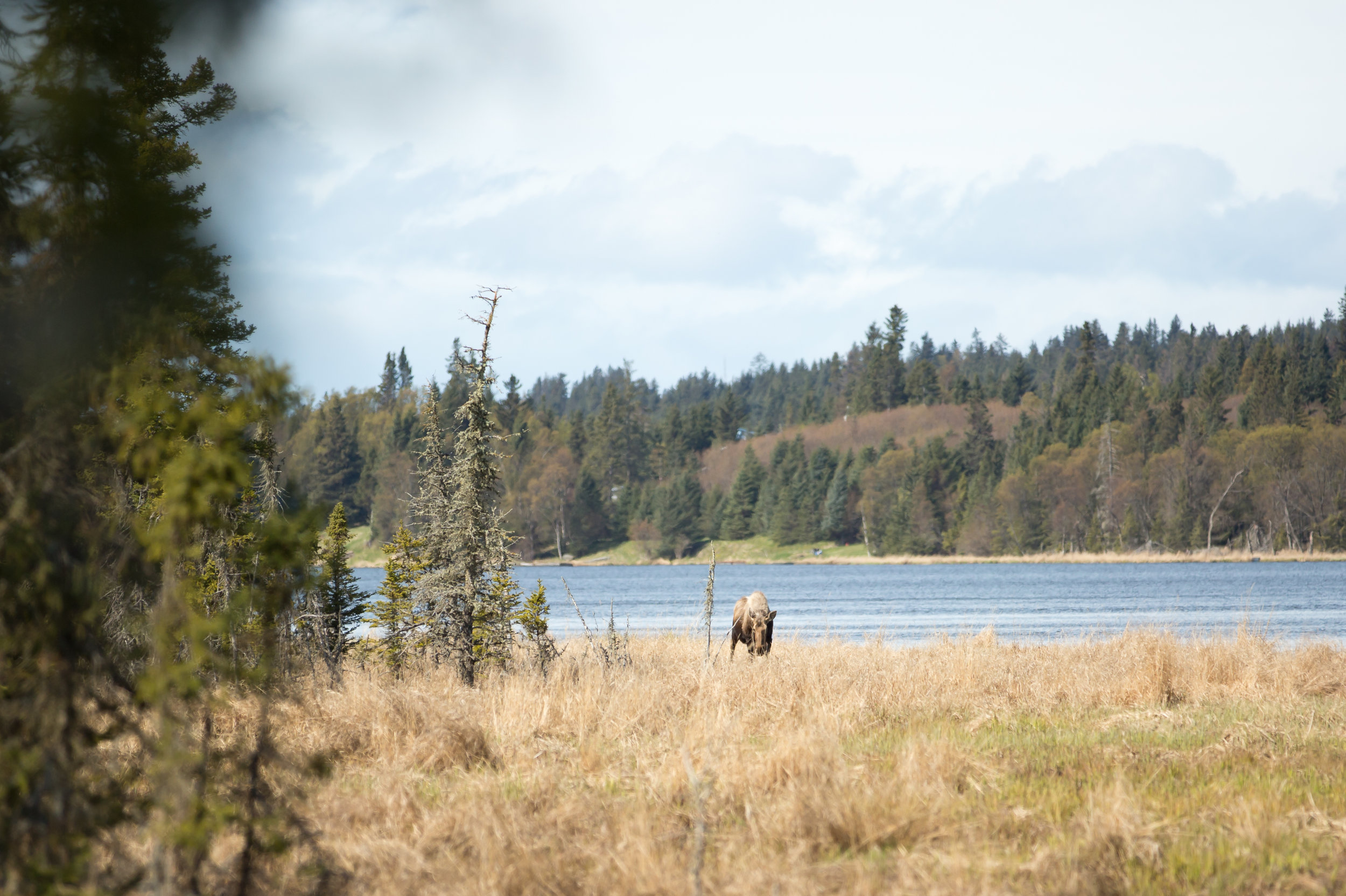 Moose sighting at Beluga Lake Wetlands