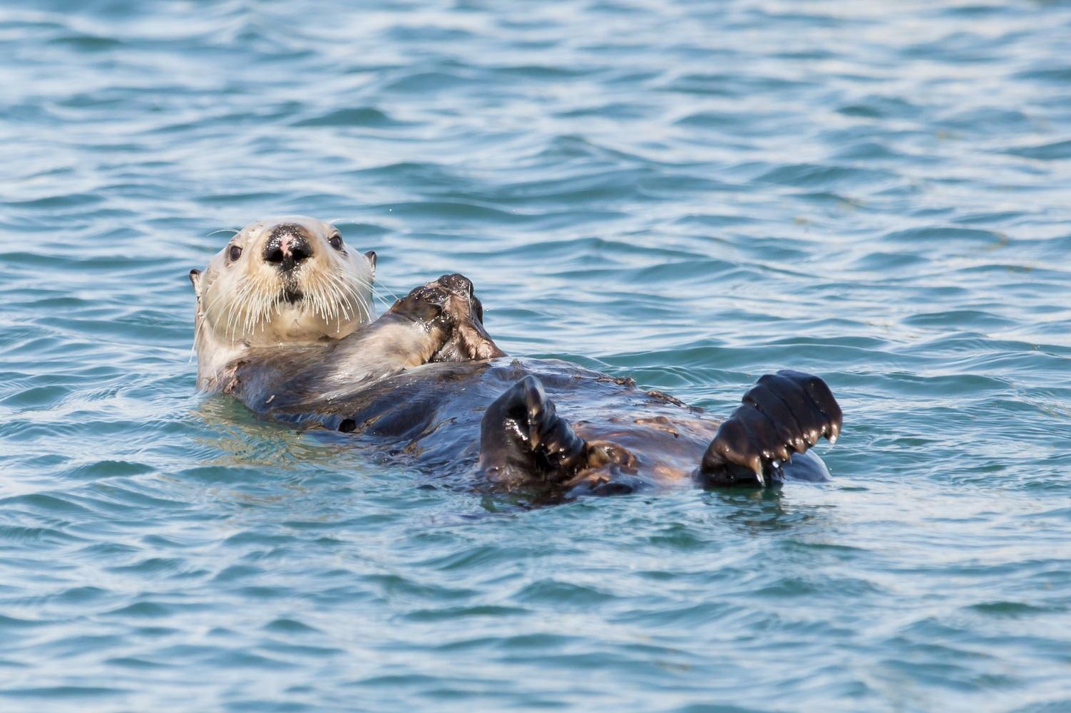 Homer Harbor Otter