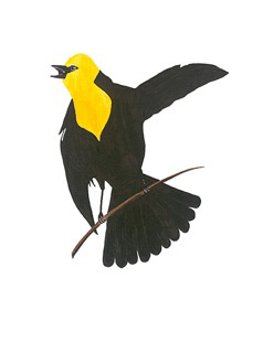 """Yellow-Headed Blackbird"" - colored ink - by Nandu Dubey"