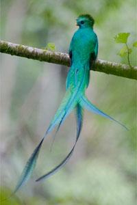 Male Respledant Quetzal  Photo by Robert Cahill