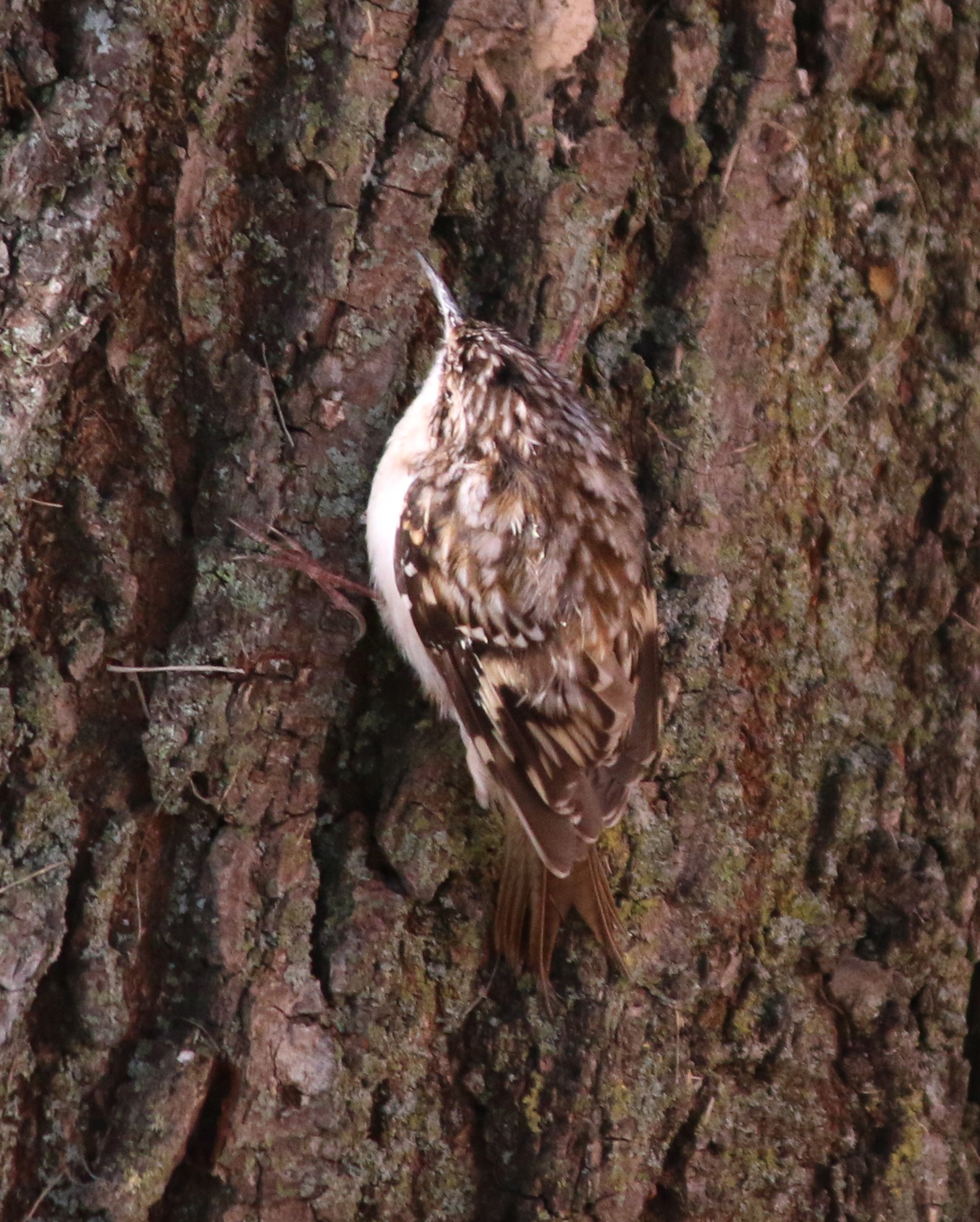 Brown Creeper - photo by Andrew Aldrich