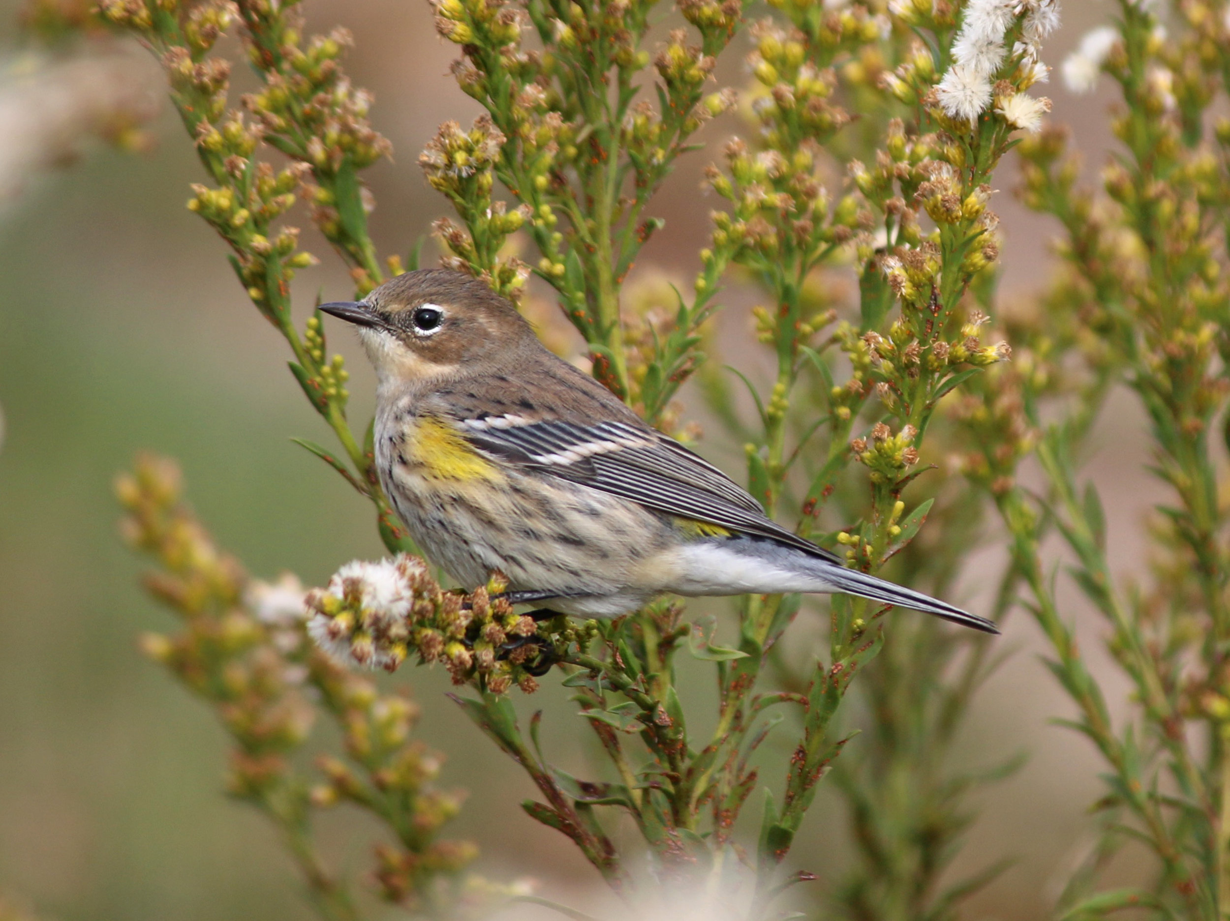 Yellow-rumped Warbler - photo by Andrew Aldrich