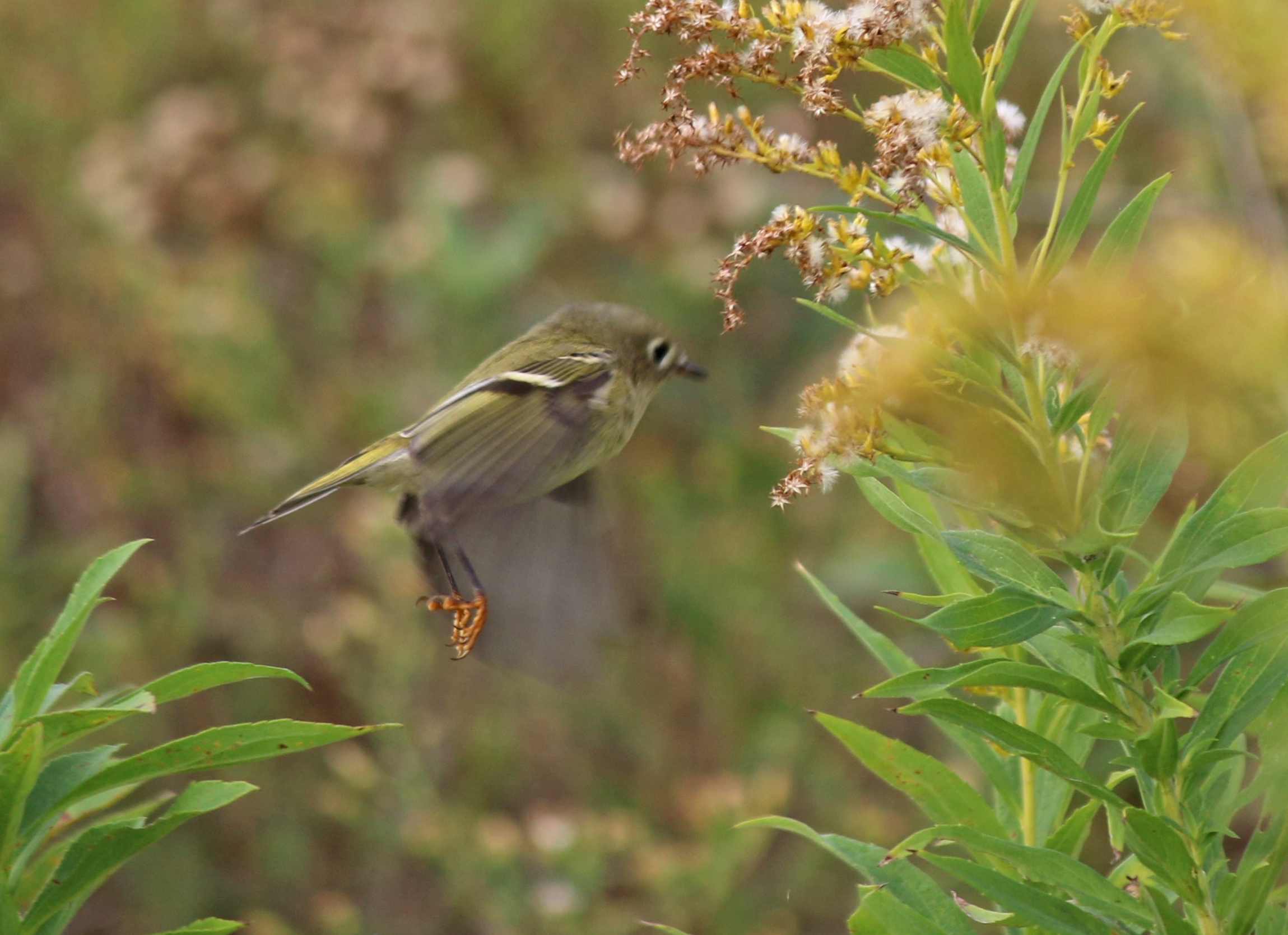 Ruby-crowned Kinglet - photo by Andrew Aldrich