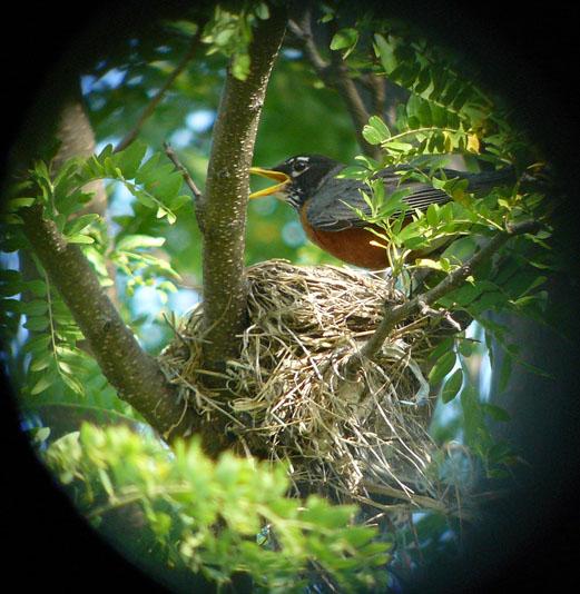 American Robin - photo by Geoff Williamson