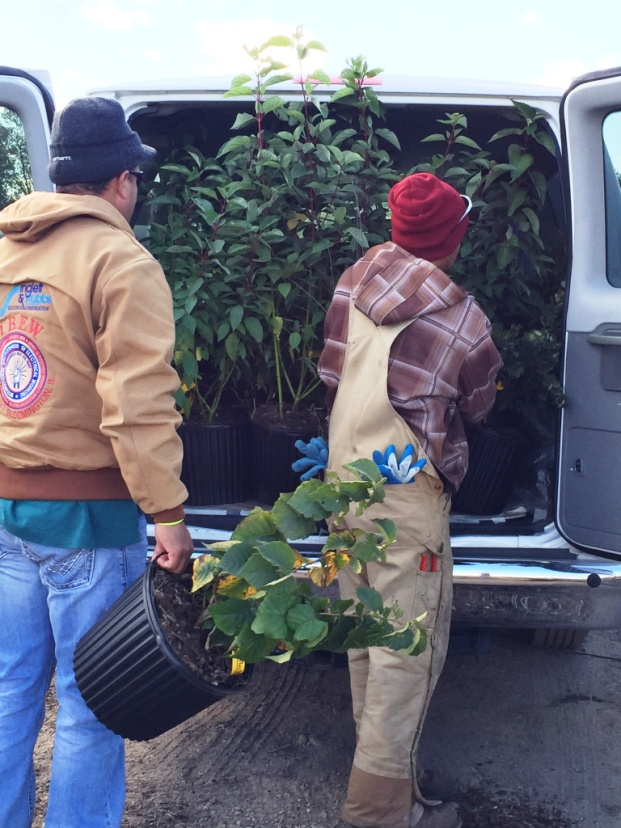 Shrubs being loaded at Possibility Place, destination LaBagh! Picking up shrubs in Monee saves COS $500 delivery charge.