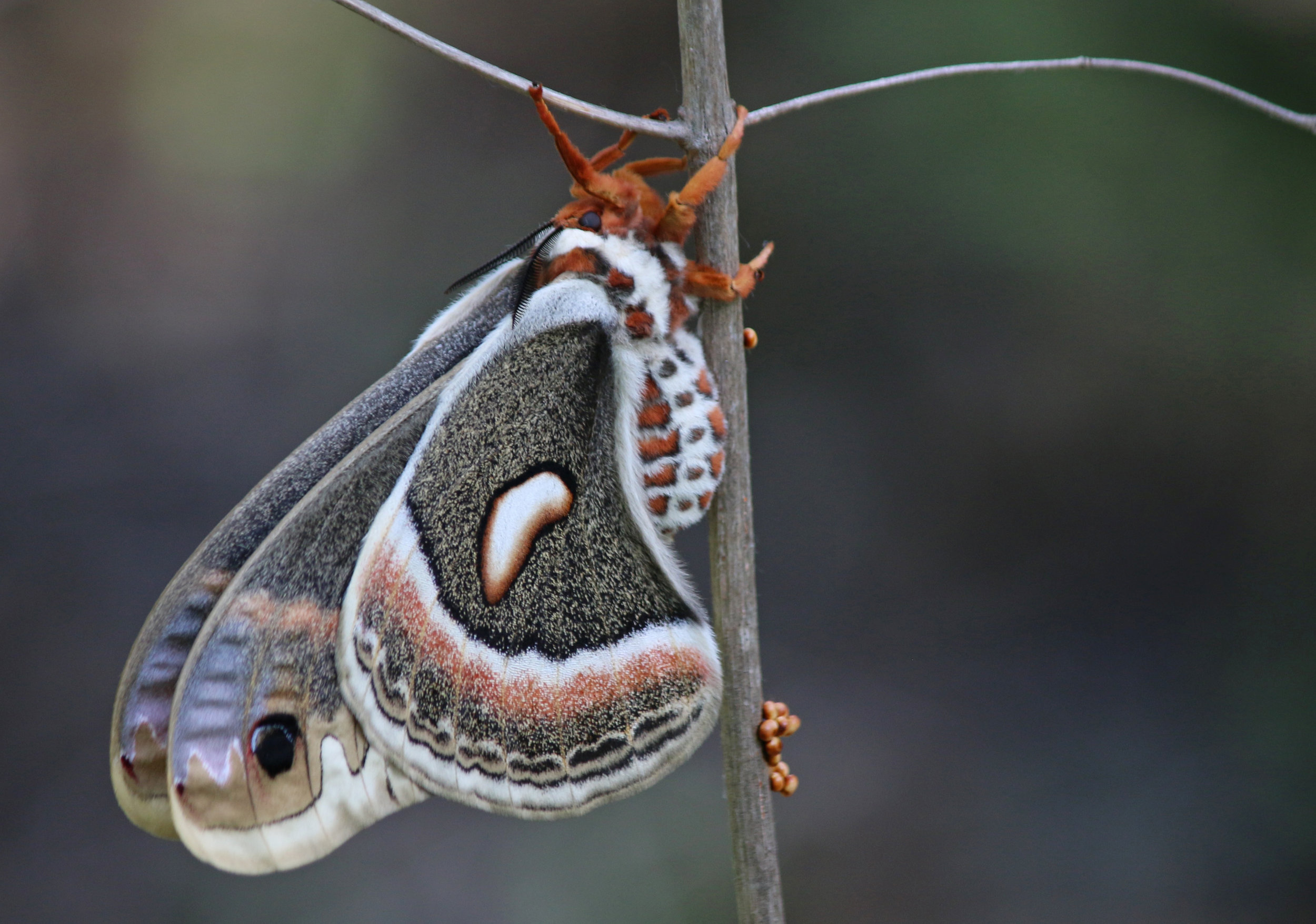 Cecropia Moth at Whistler Woods Forest Preserve